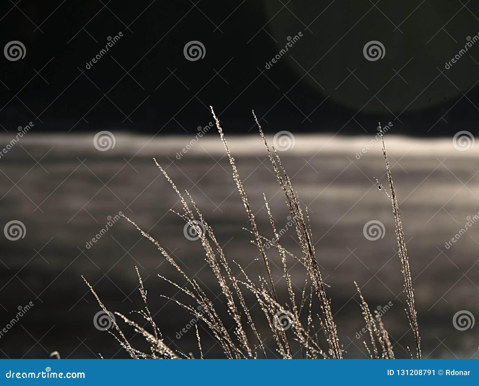 Gambi dorati di erba lunga che shinning in sol levante