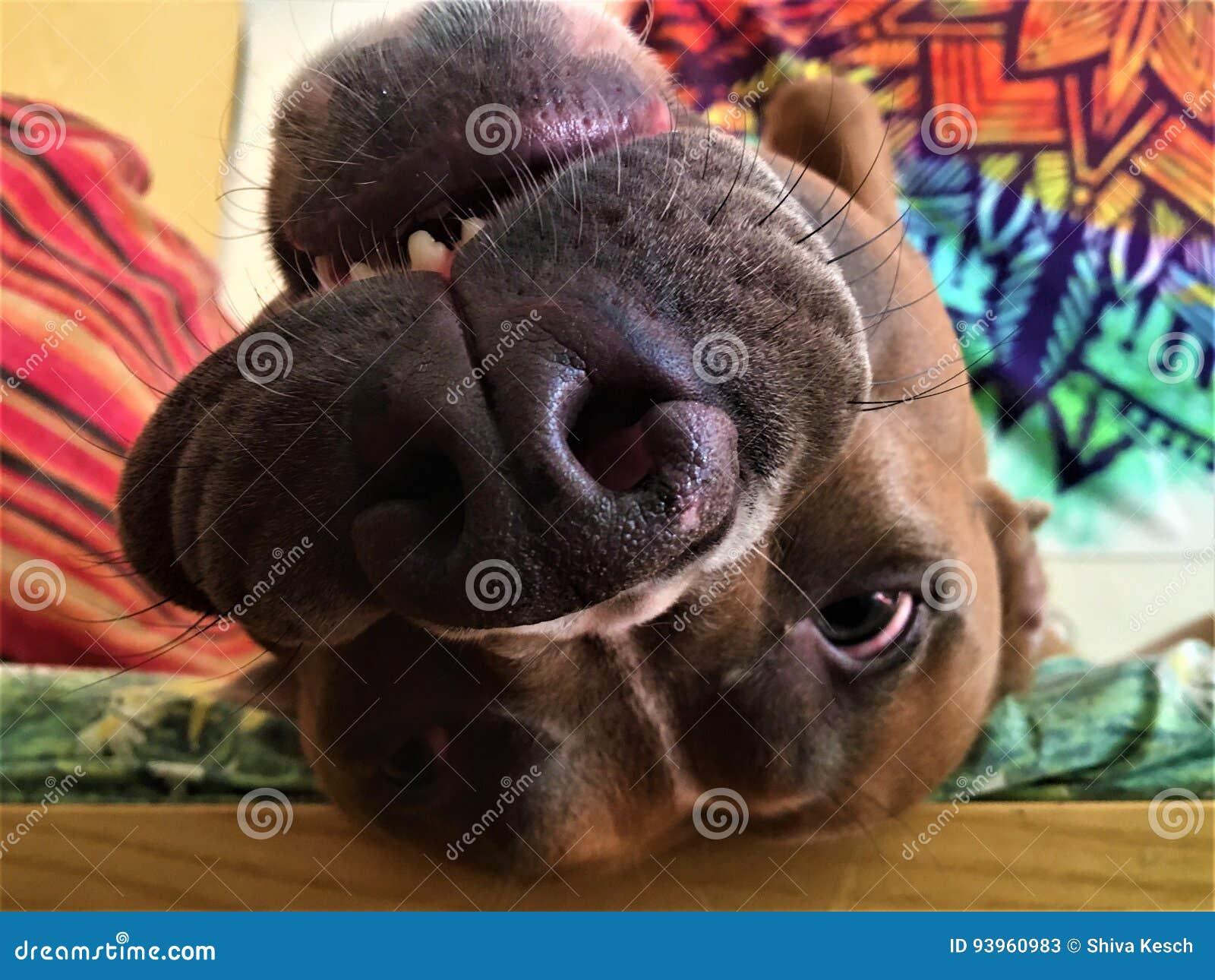Game over! stock image  Image of pitbull, animal, muzzle