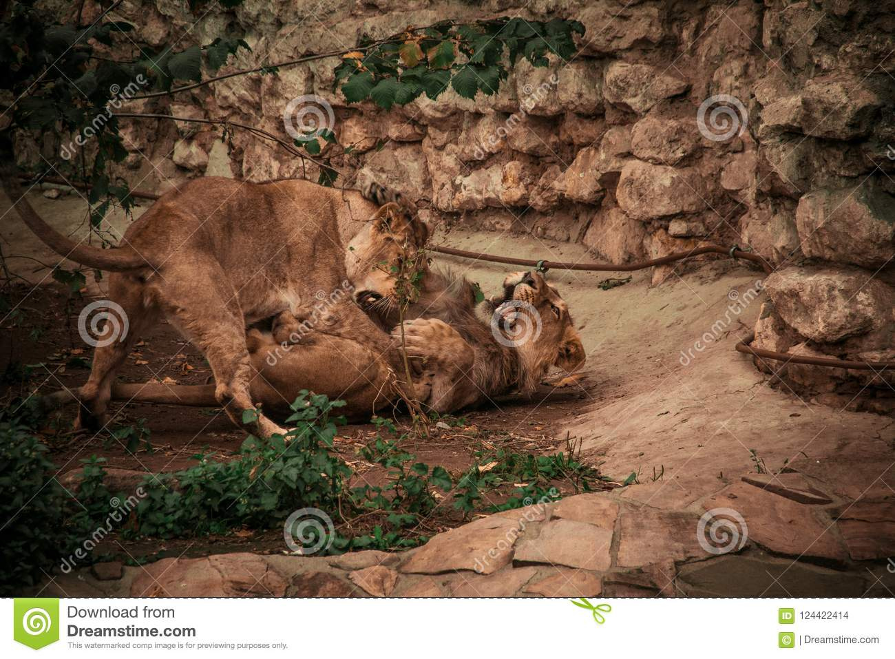 Lion and Lioness Games