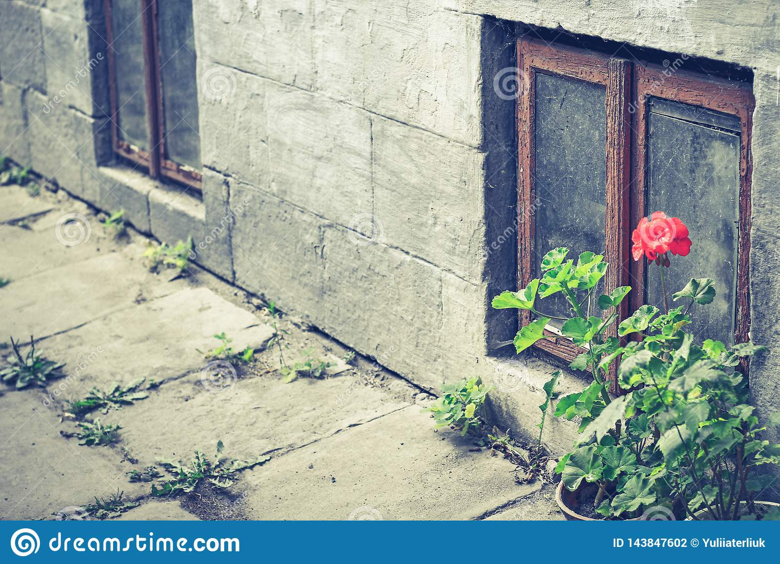 Gamla fönster- och blomkrukapelargon i Tuscany, Italien Gammalt fönster med blommor Fallfärdiga fönster med brutet exponeringsgla