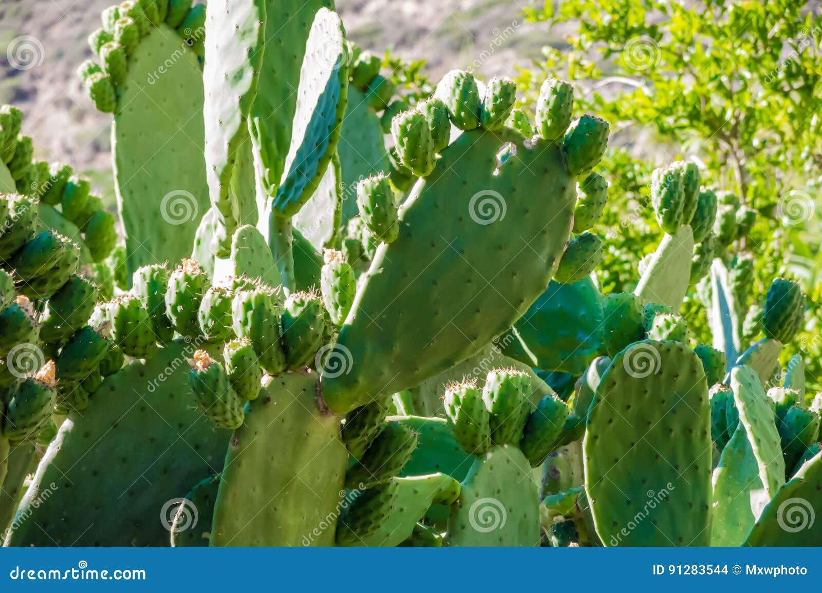 Gamla kaktusväxter med många nya blad i direkt solljus