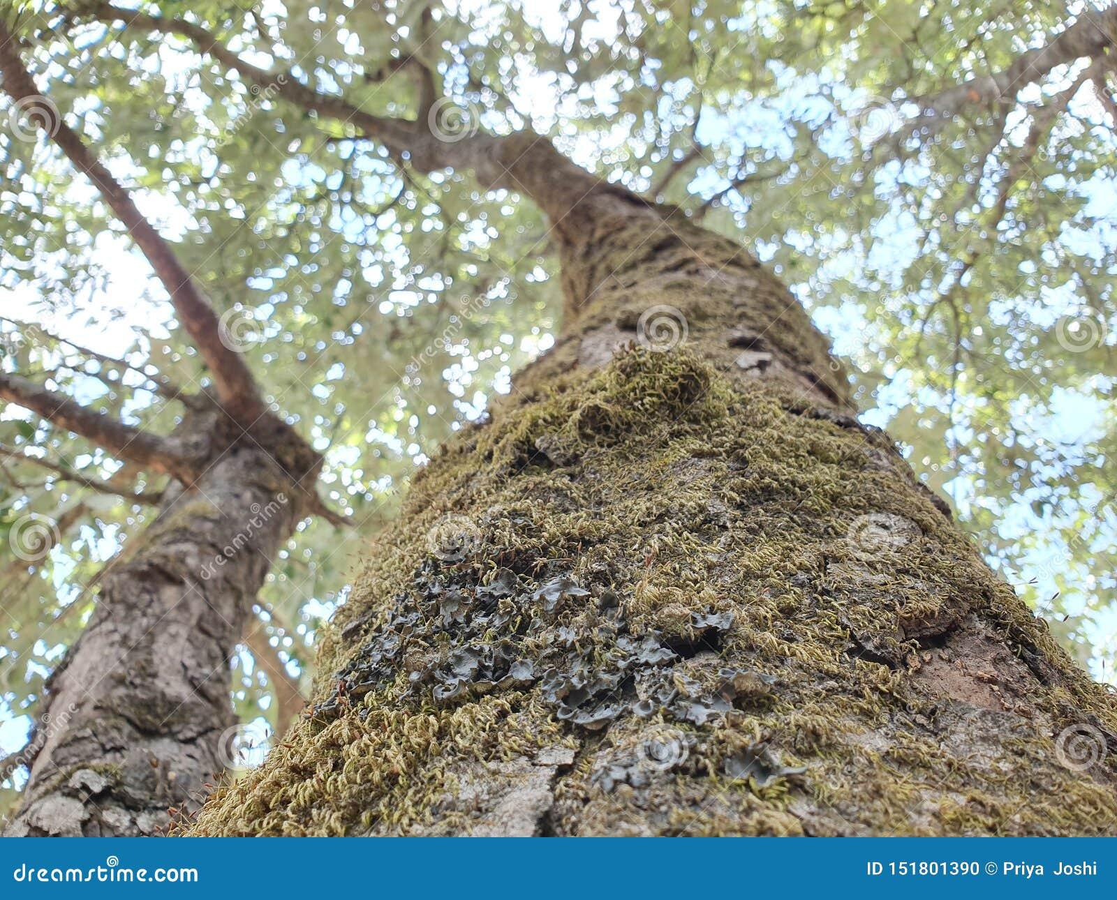 Gamla mossiga träd i foresrottaslutet upp av skället av ett träd som täckas i grön mossa