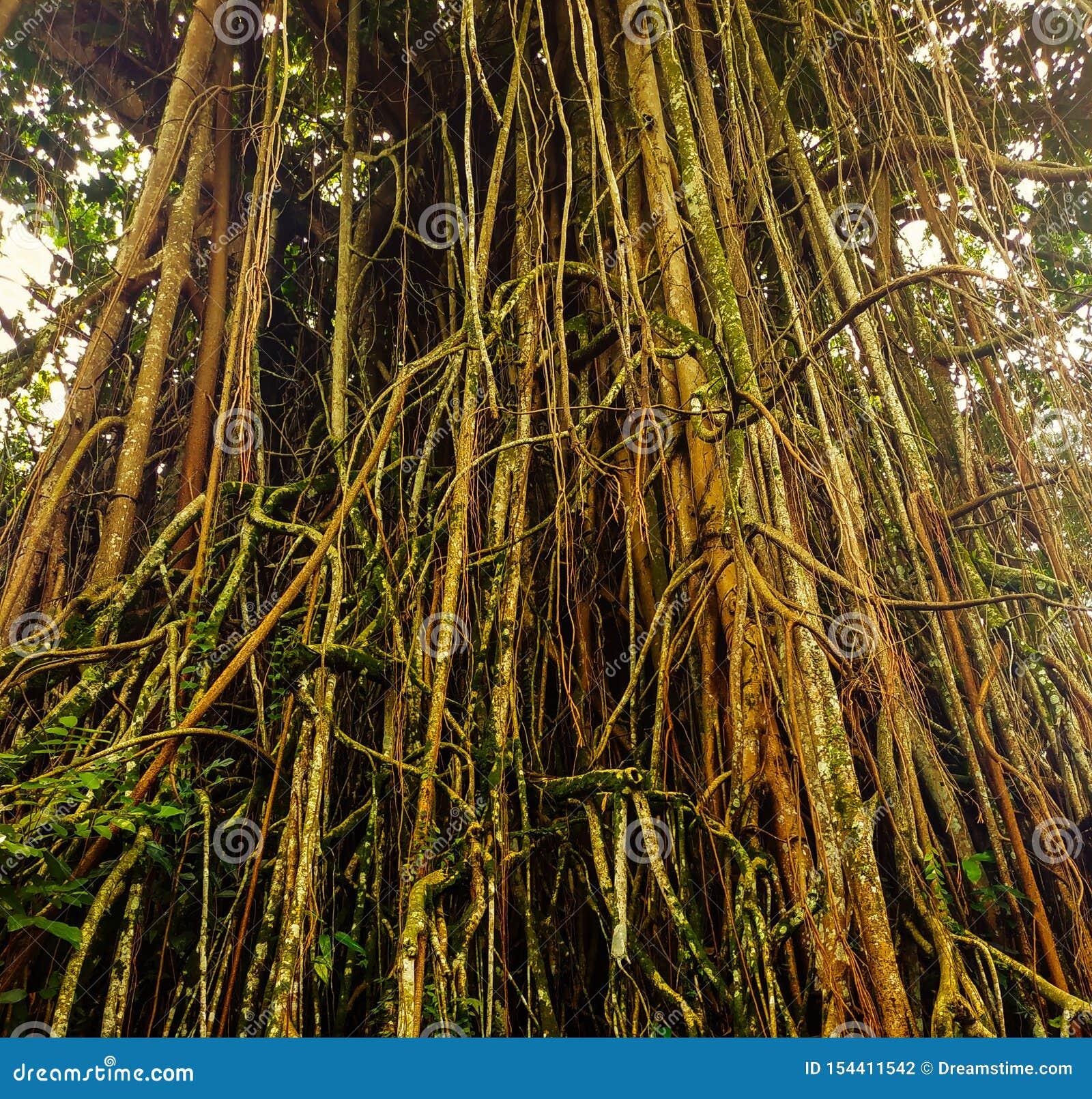 Gamla naturliga träd på Kebun Raya Bogor, indonesia
