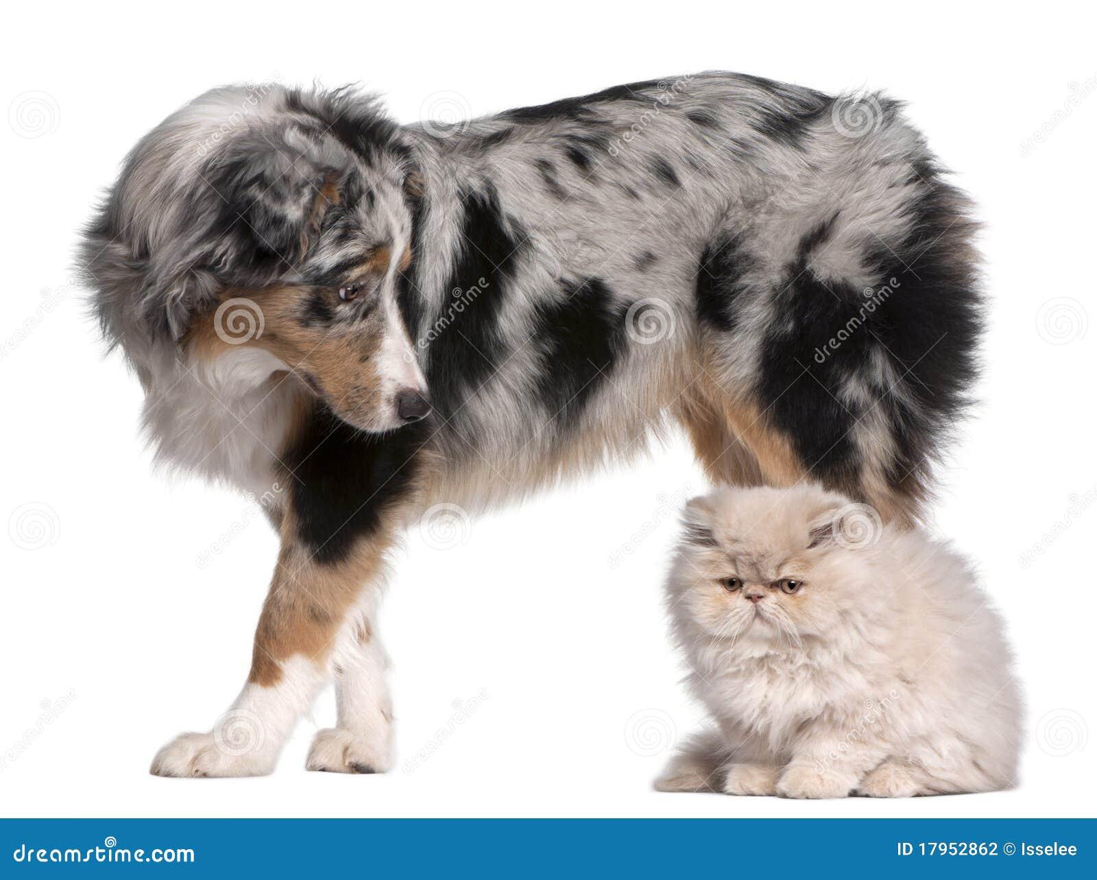 Gammal herde för 6 australiensiska hundmånader