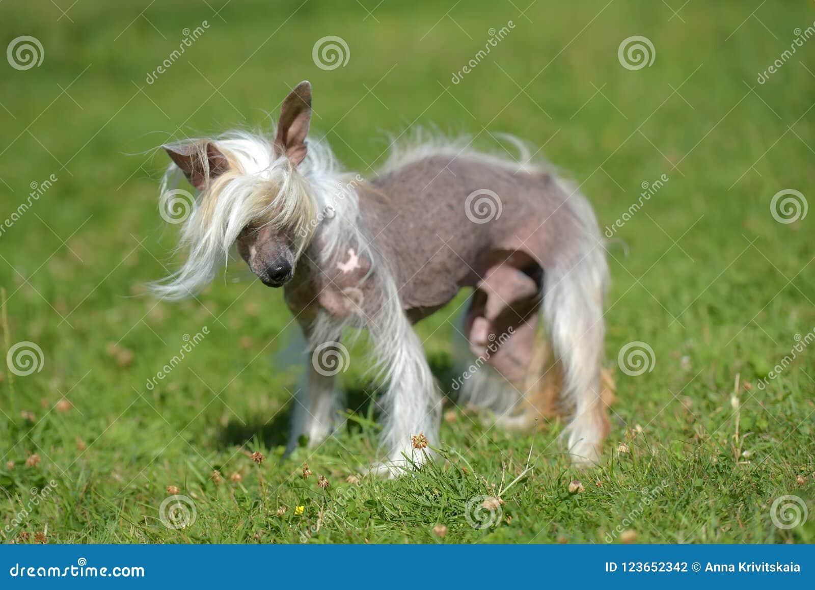 Gammal kines krönad hund