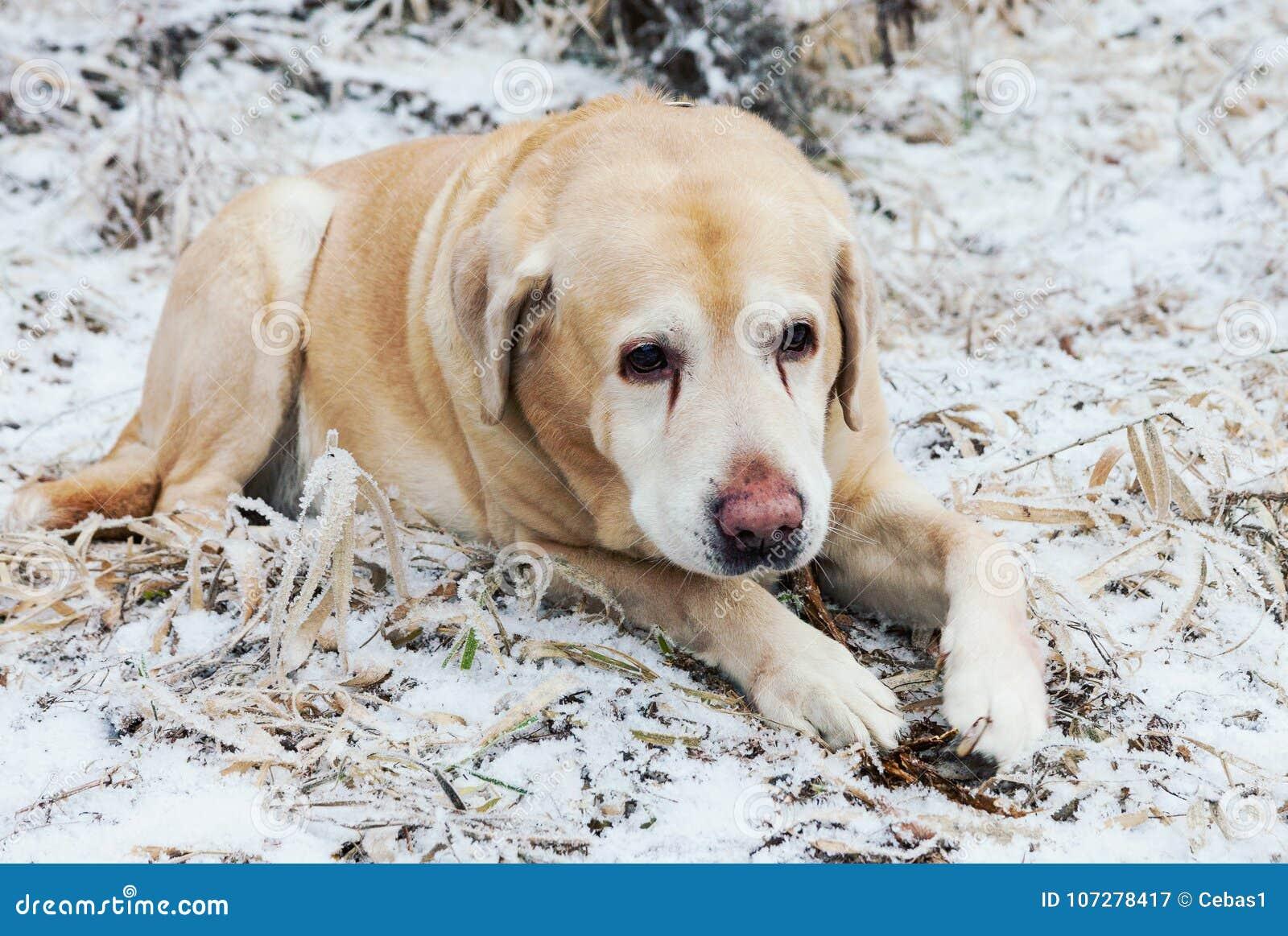 Gammal ledsen guld- labrador retriever hund i vinter