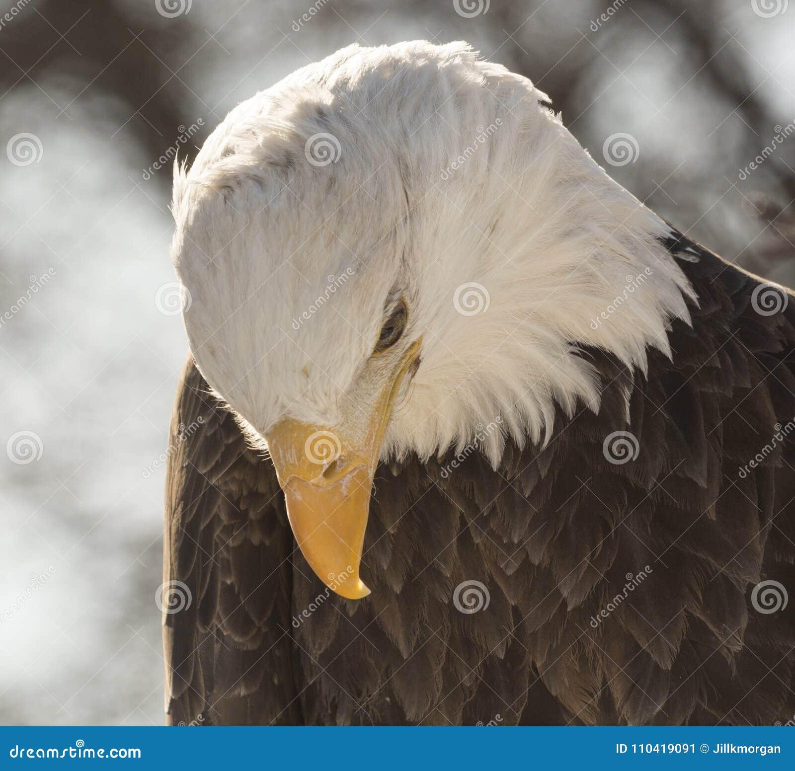 Gammal nord - amerikanska skalliga Eagle som bugar hans huvud