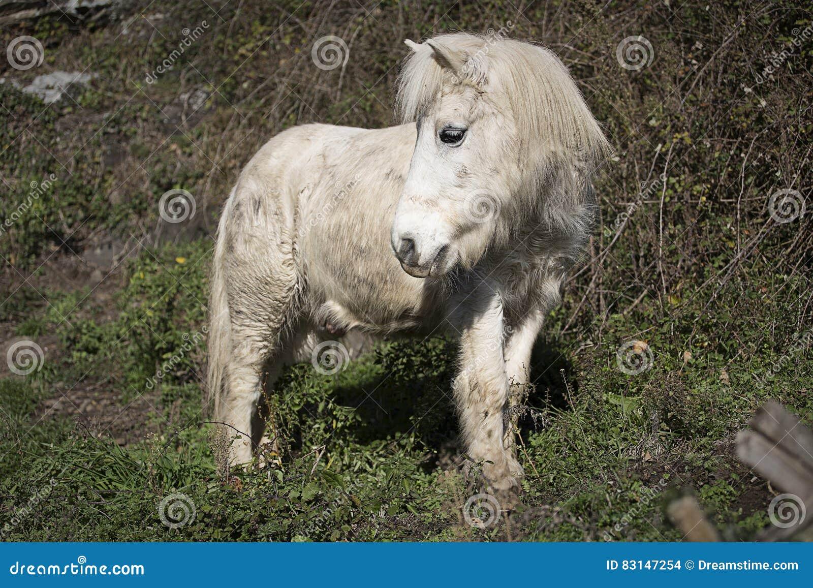 Gammal ponny