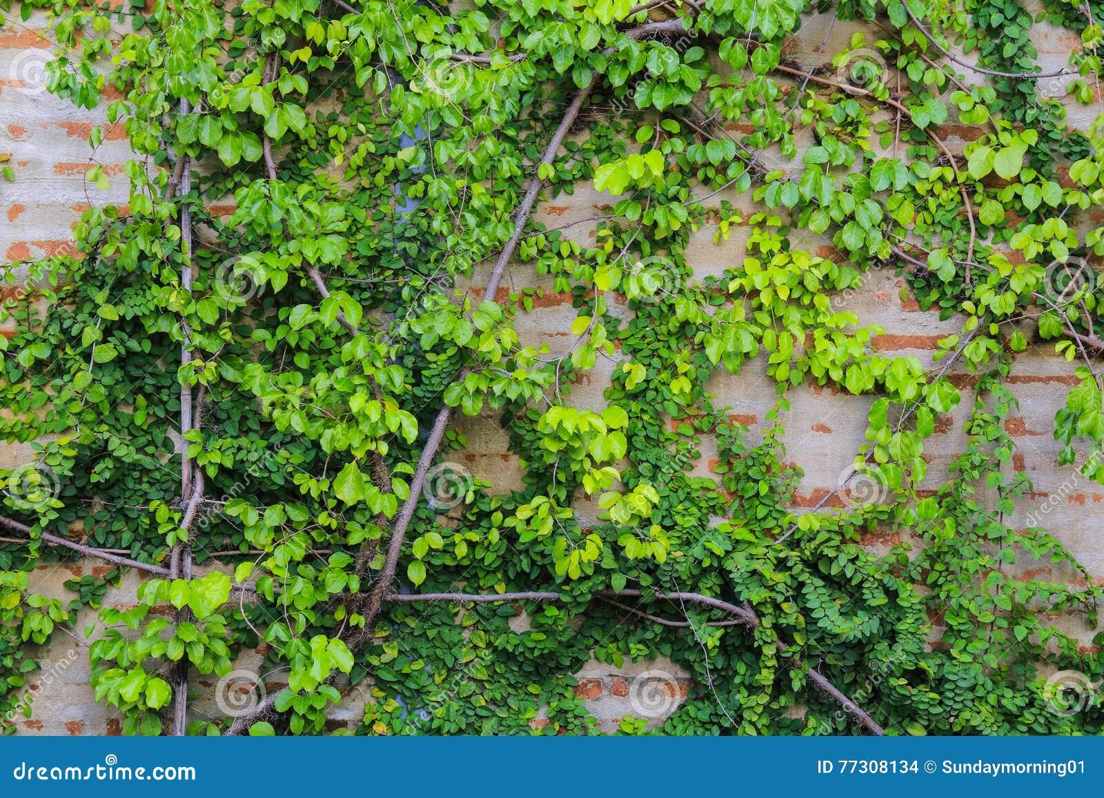 Gammal tegelstenvägg med det gröna bladet