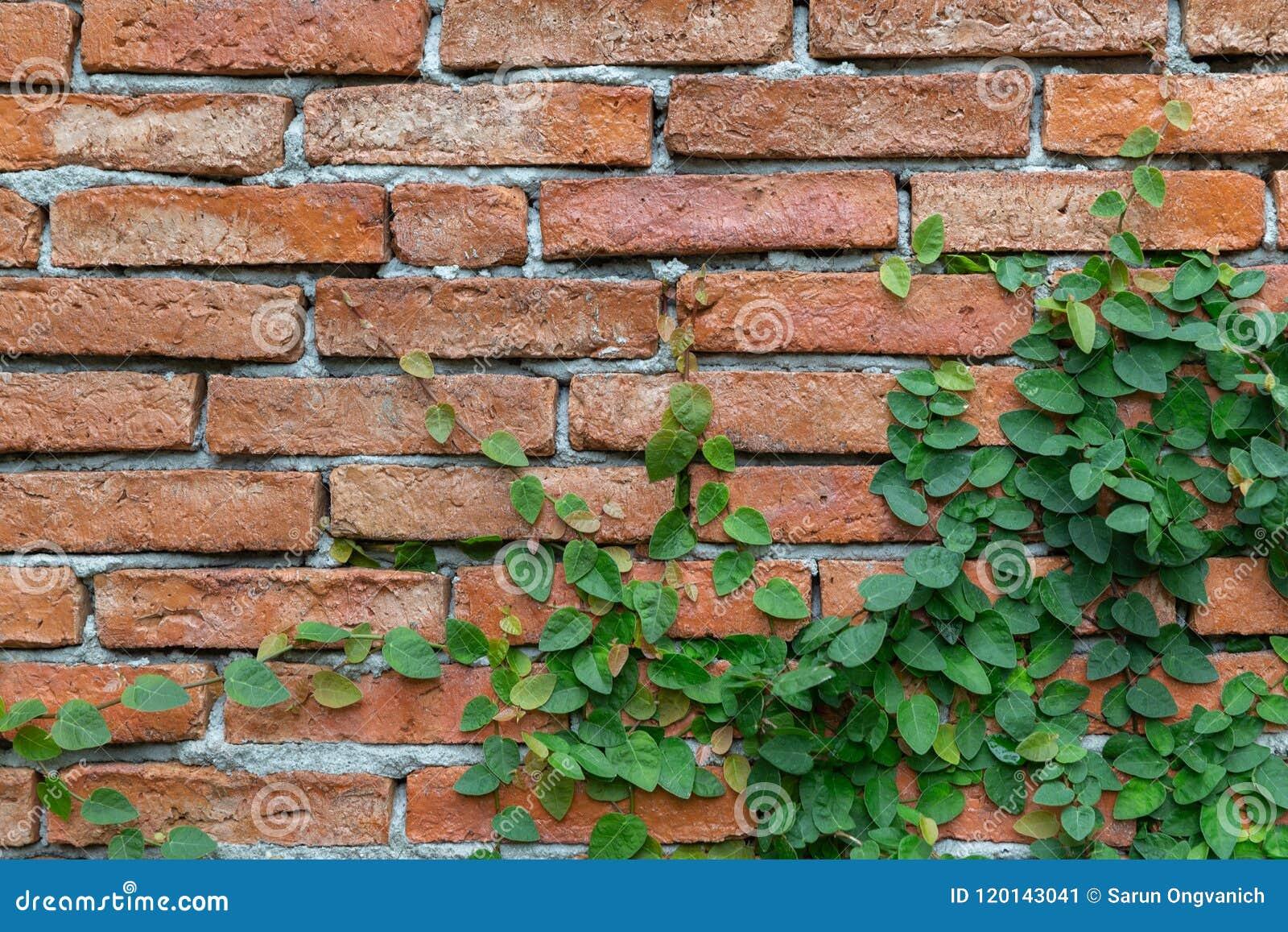 Gammal texturtegelstenvägg, bakgrund som täckas i murgröna