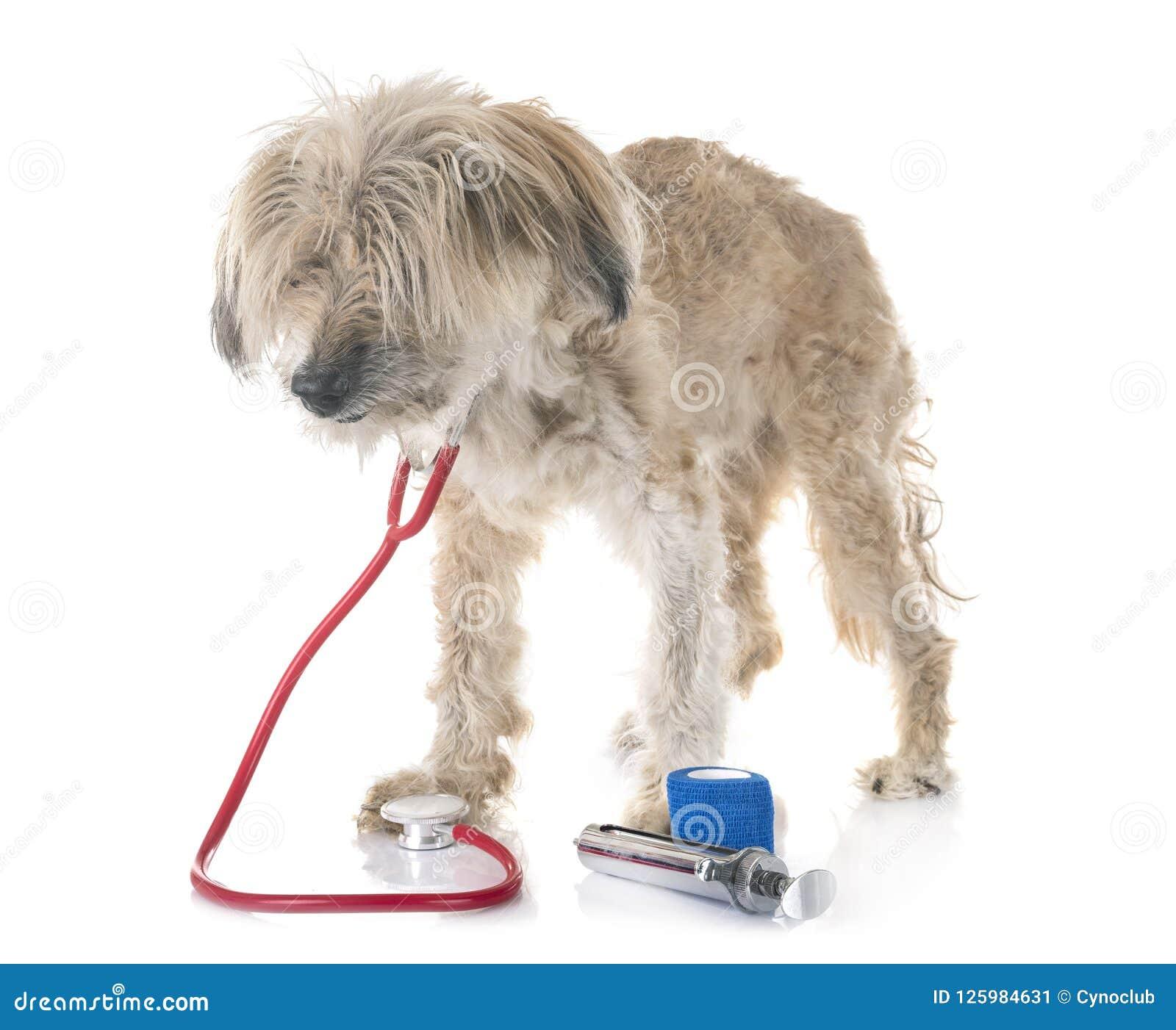 Gammal tibetan terrier