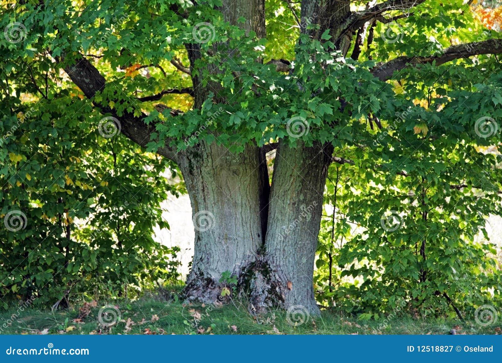 Gammal tree för lönn