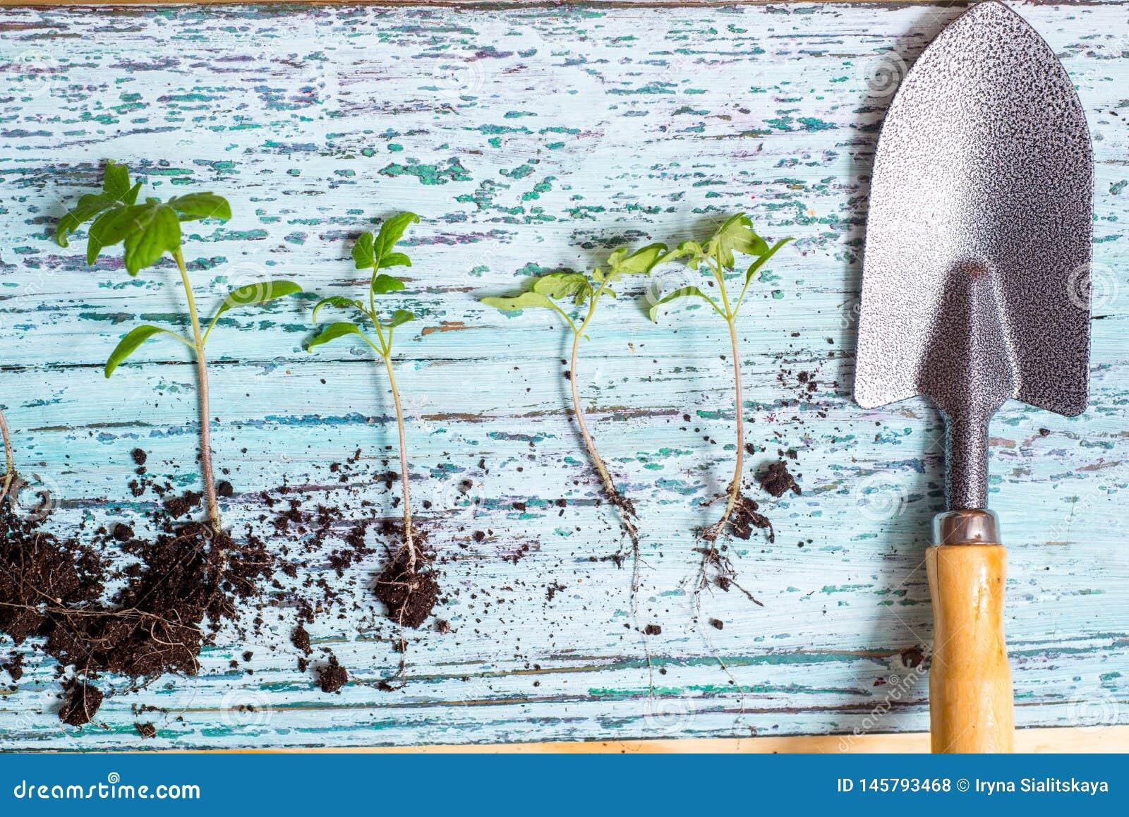 Gammalt bevattna kan med plantor av blommor och gr?nsaker p? retro tr?bakgrund Hem- tr?dg?rd f?r tappning och planteraobjekt,