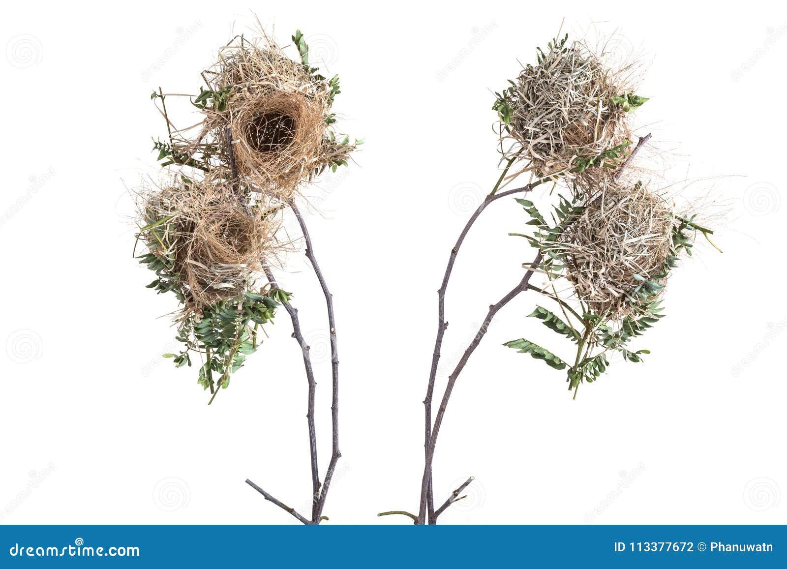 Gammalt tomt brunt fågelrede på torr trädfilial studioskottisolat