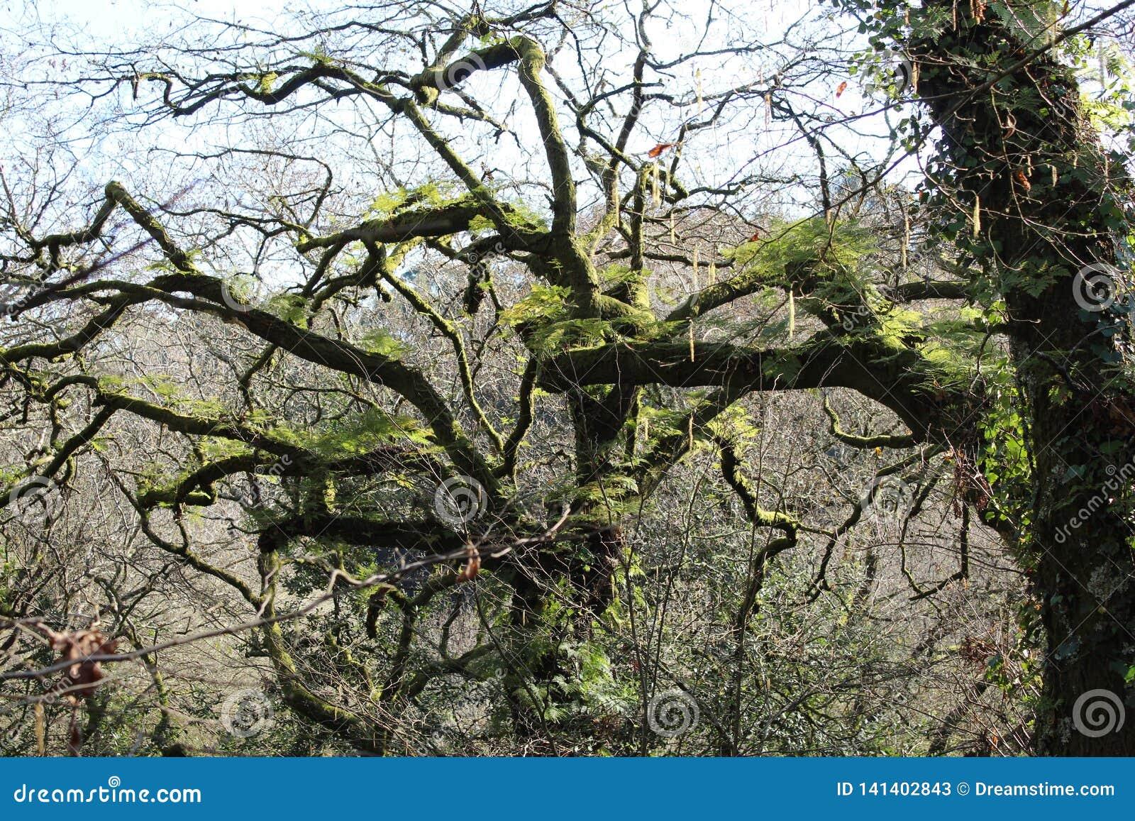 Gammalt träd i Spanien