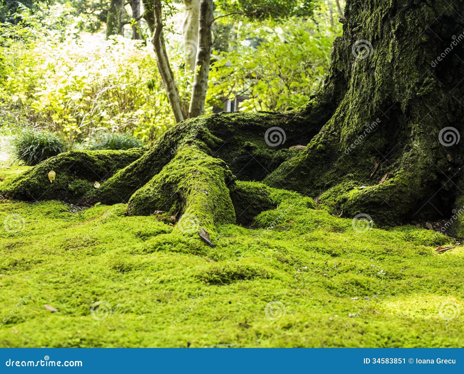 Gammalt träd med mossa