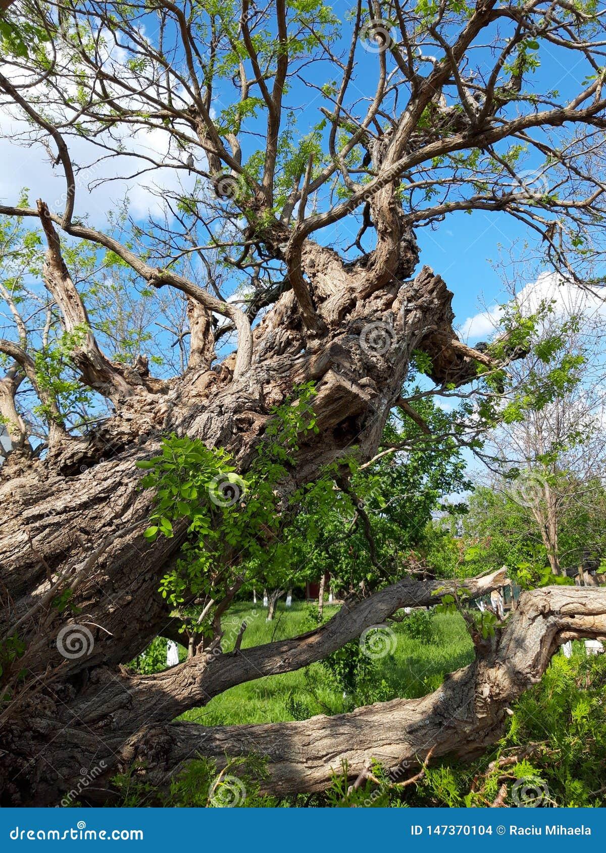 Gammalt träd på den Saon kloster