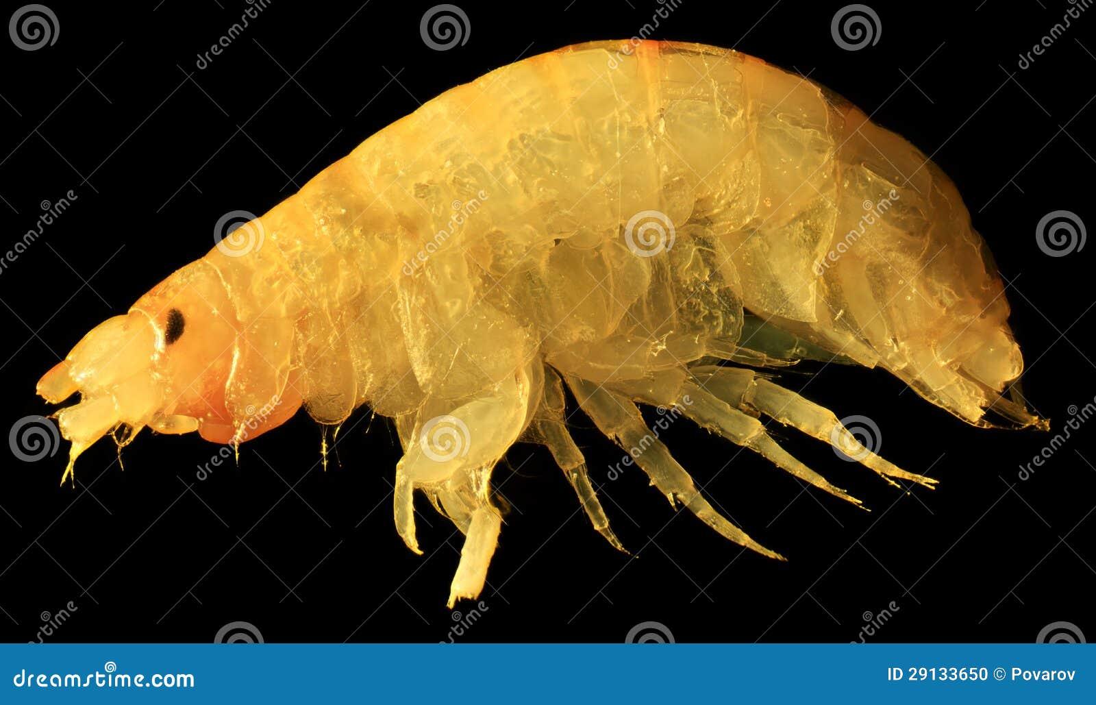 Gammarus unter dem mikroskop stockfoto bild von fauna infektion