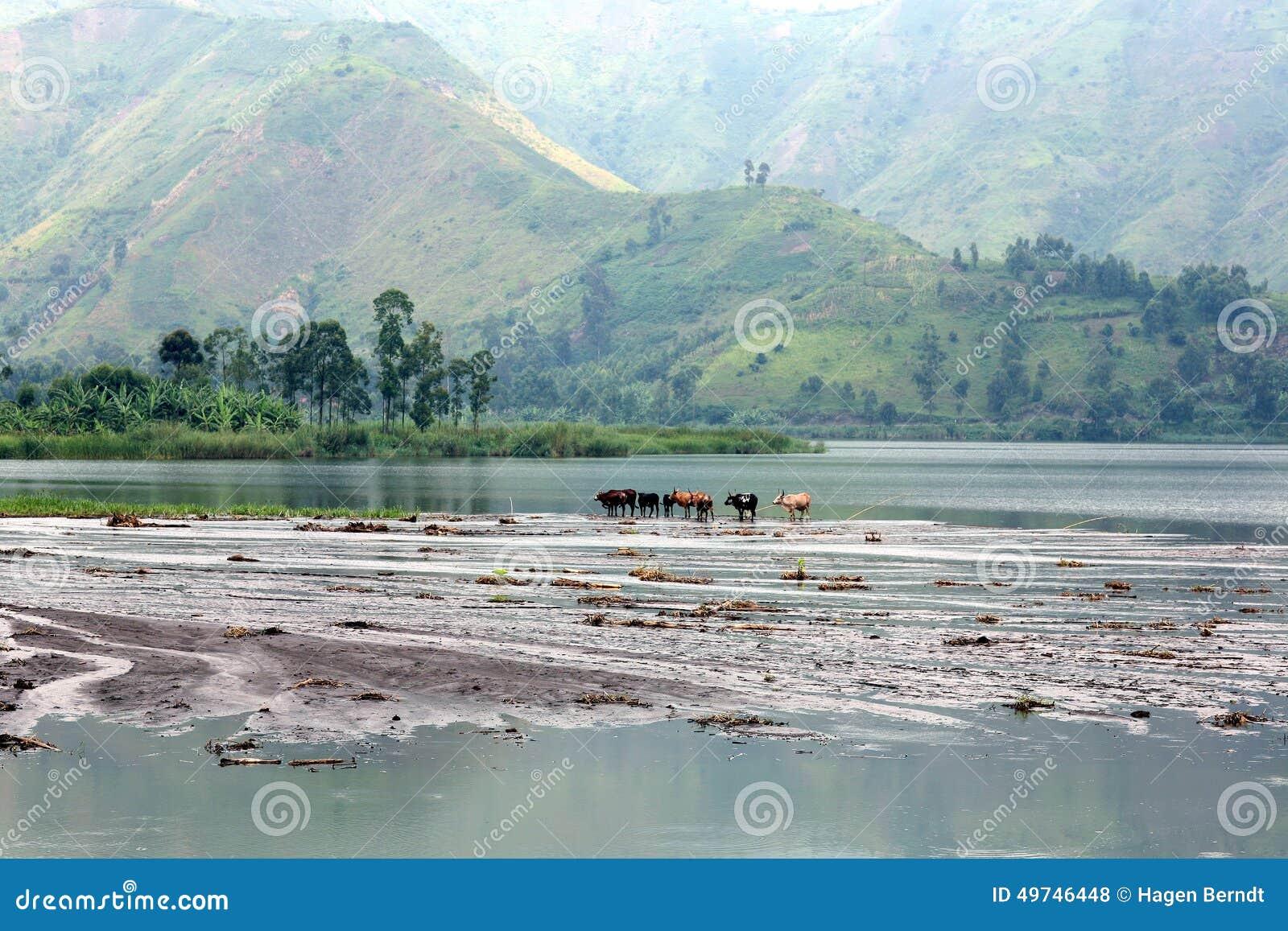 Ganado en el lago Kivu