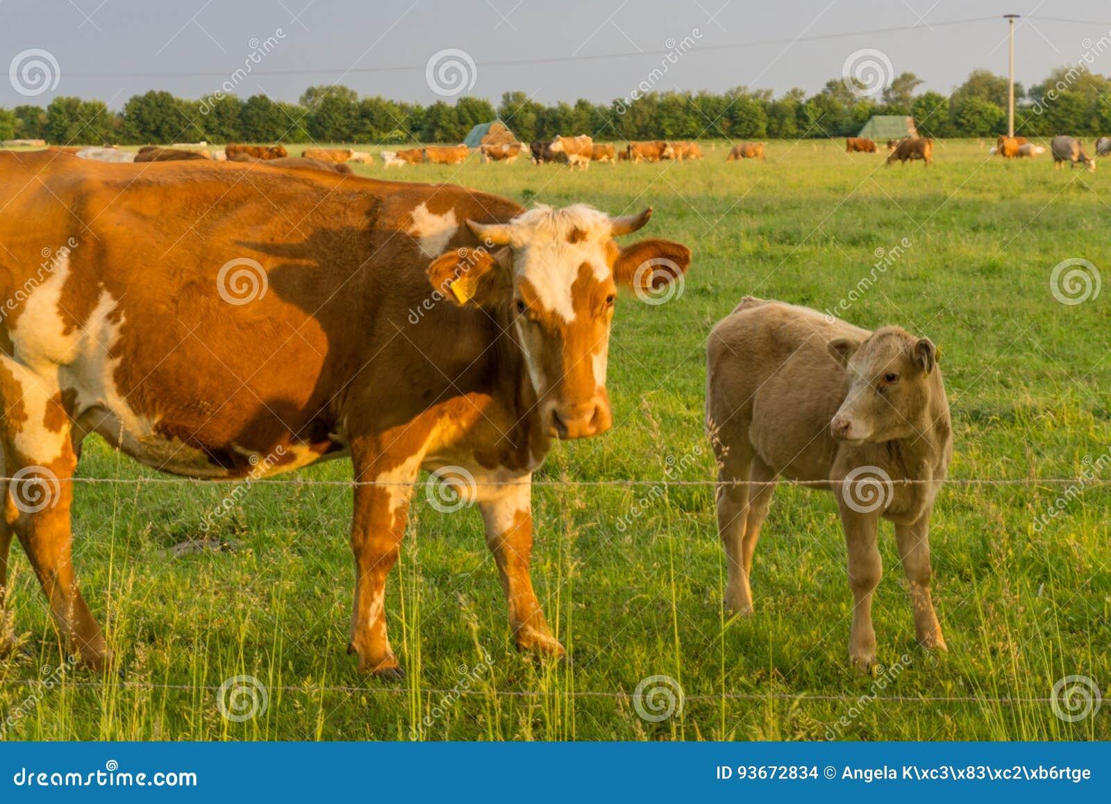 Ganado - vacas