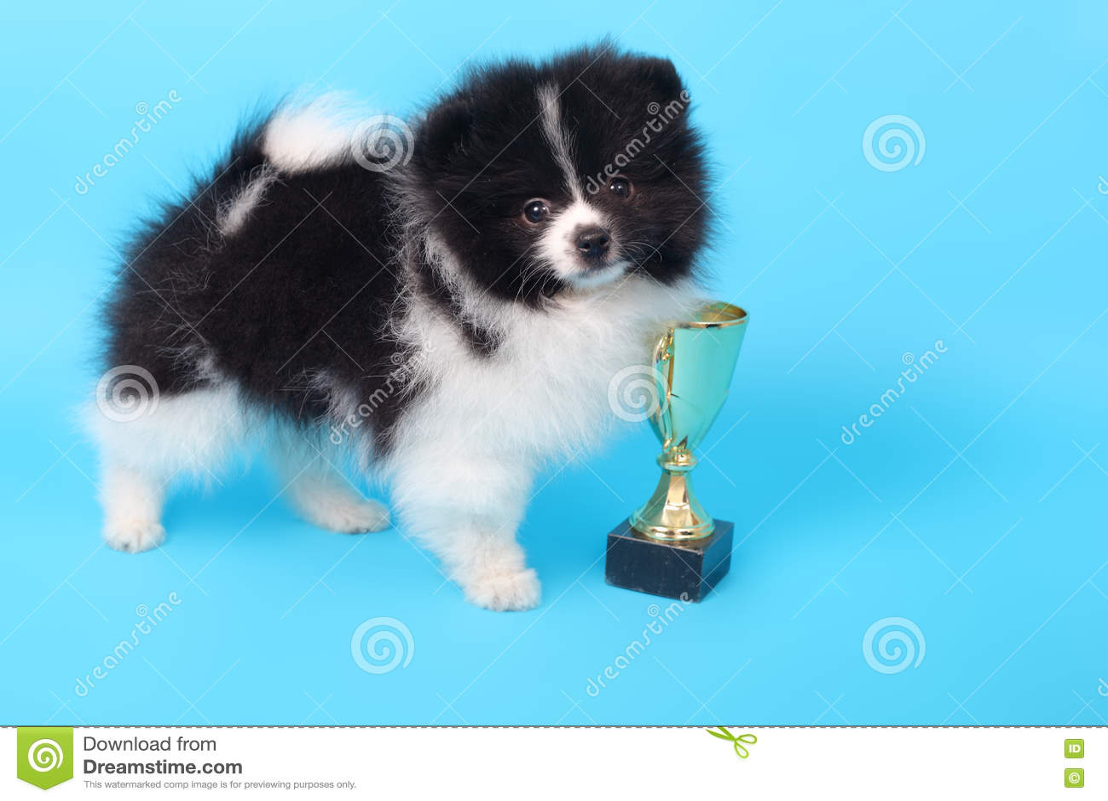 Ganador del perrito del perro de Pomerania