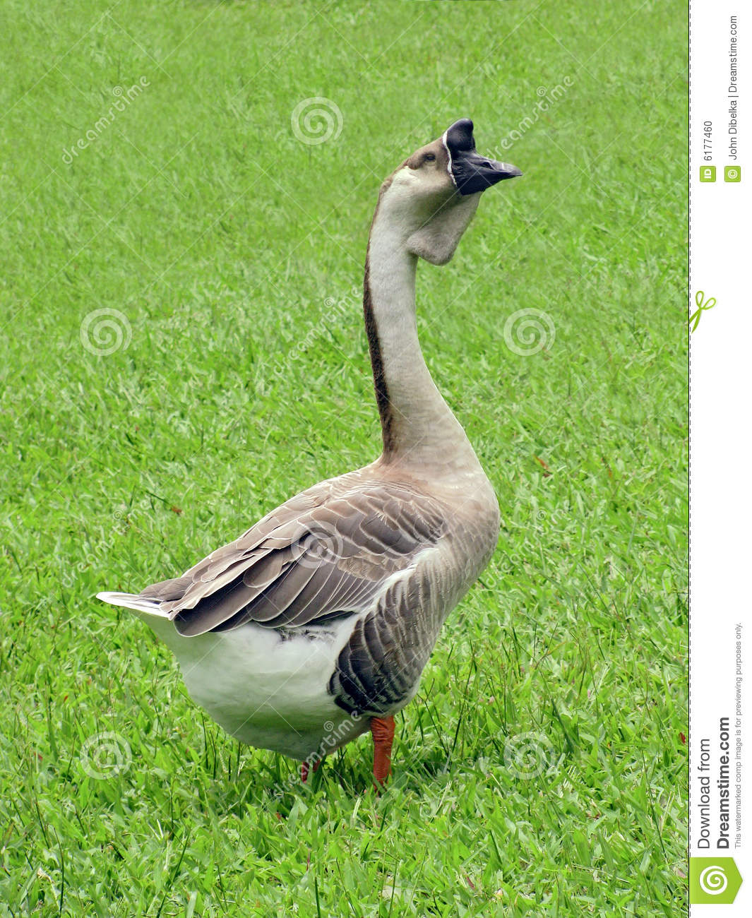 gander male goose standing watch in clipped grass
