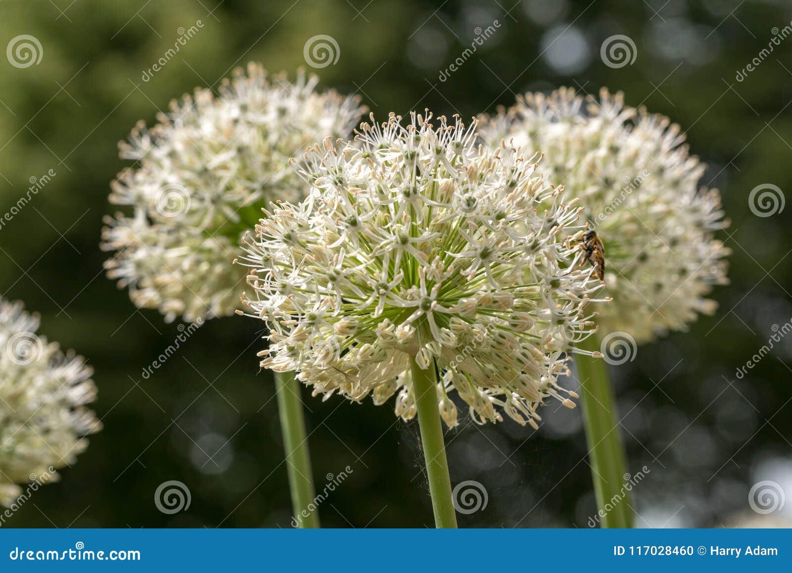 Gang of white elephant garlic - allium ampeloprasum