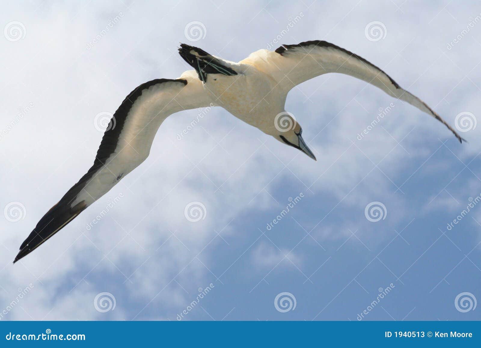 Gannet en vol 3 de cap