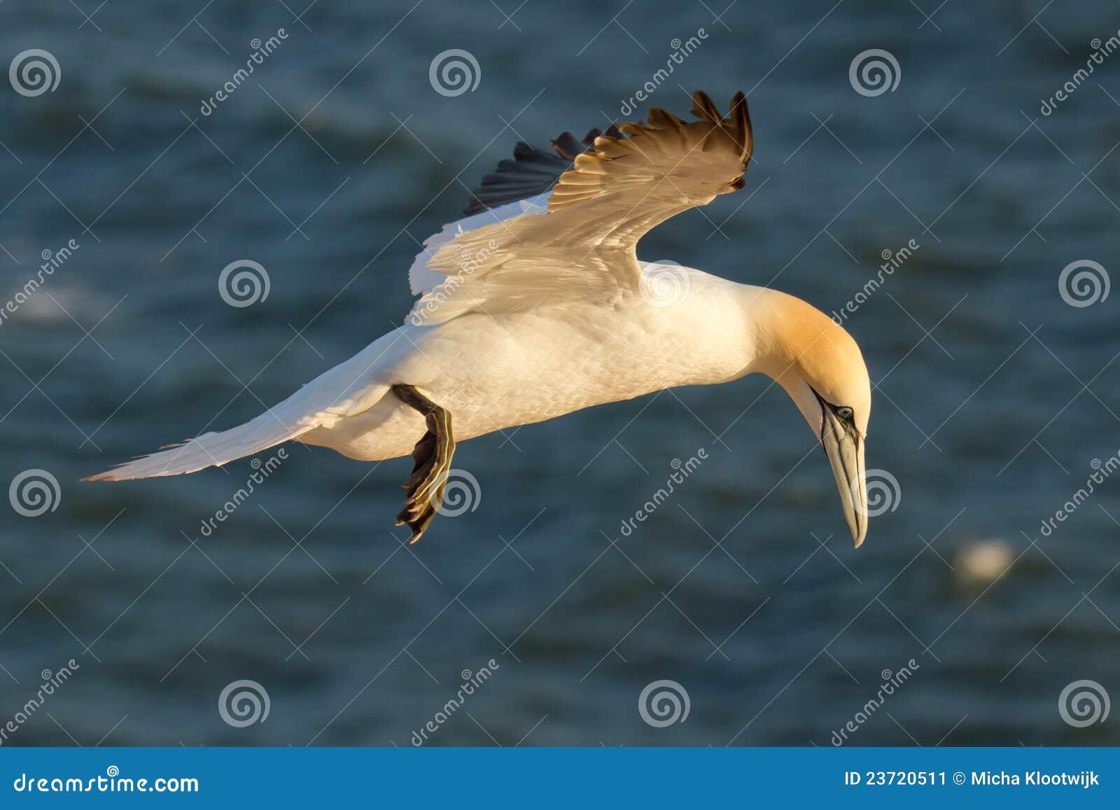 A gannet is flying