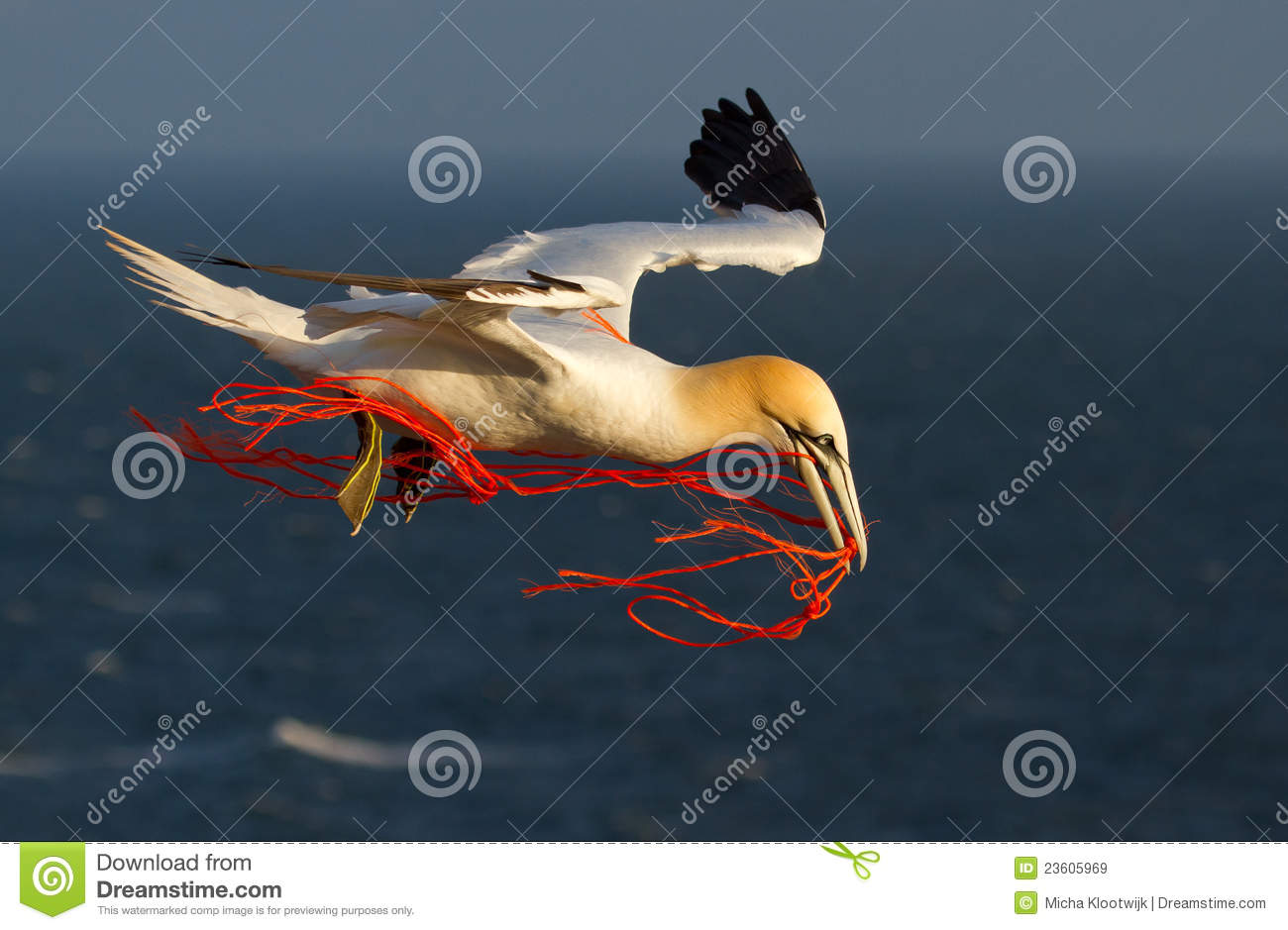 A gannet flying with a orange rope