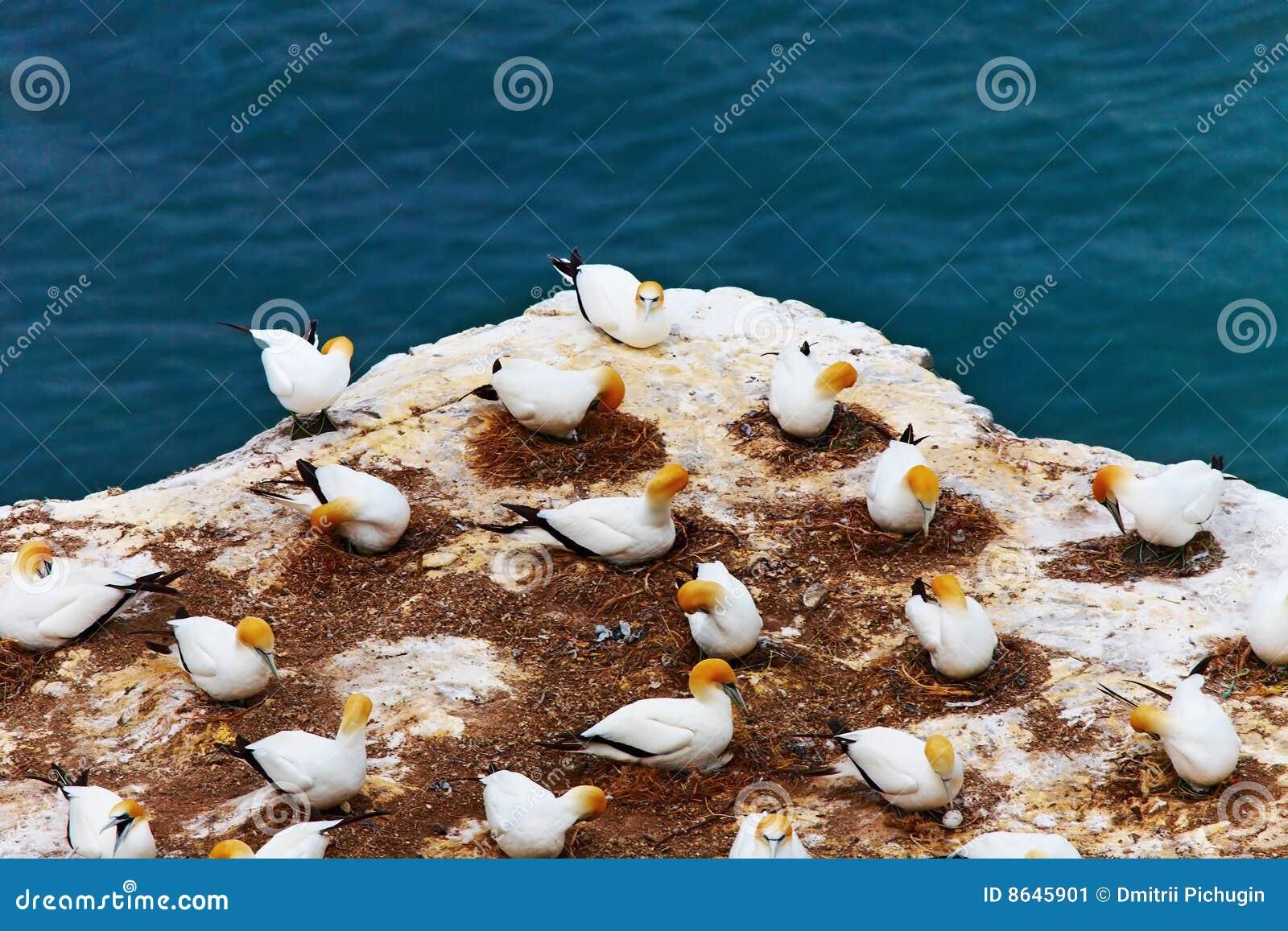 Gannet Kolonie