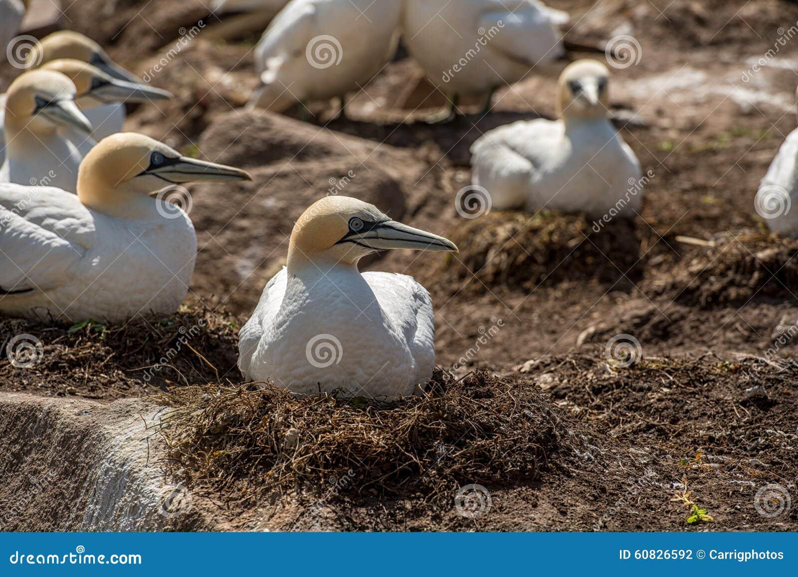 Gannet septentrional