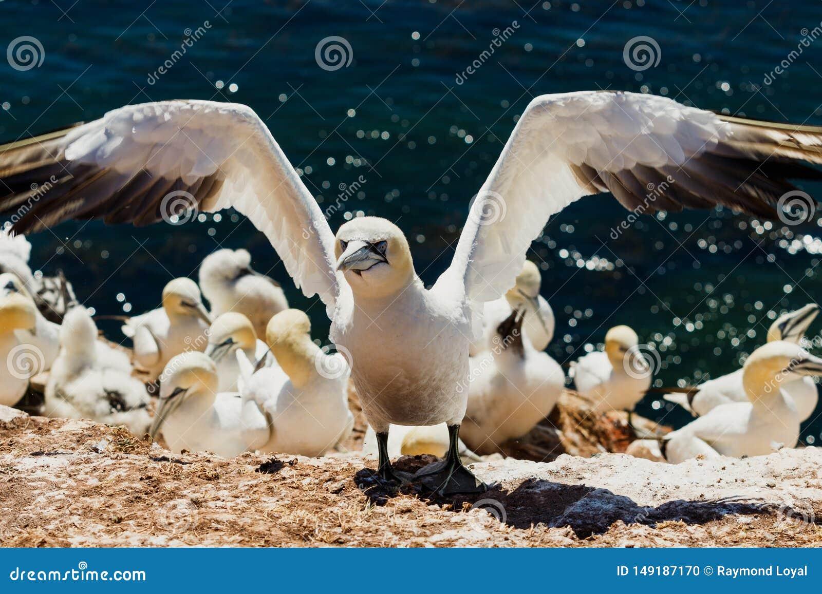 Gannet wciąż z otwartymi skrzydłami po lądować w lęgowej koloni przy Helgoland