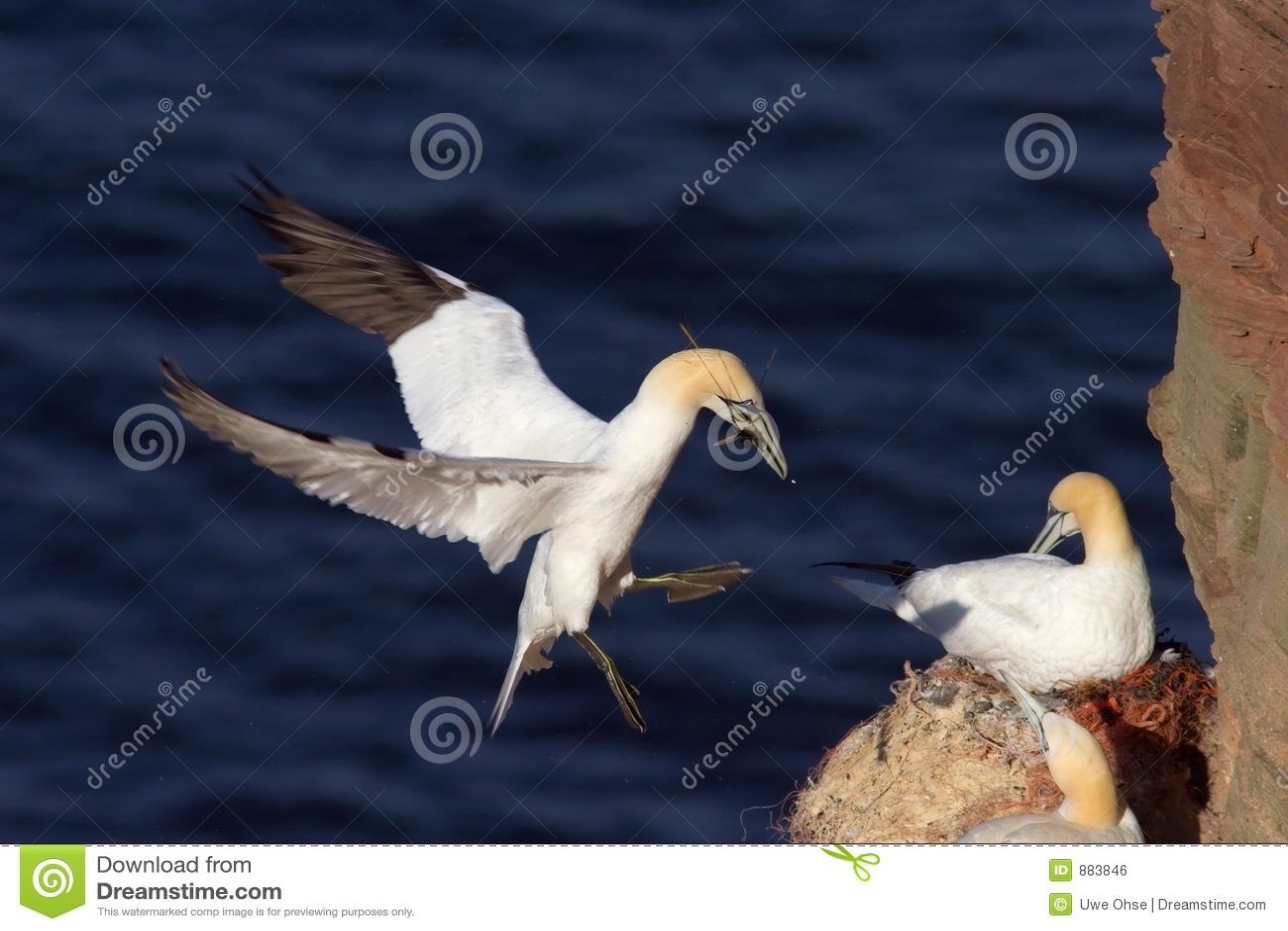Gannet wyładunku północnej wiciem gniazda rzeczy