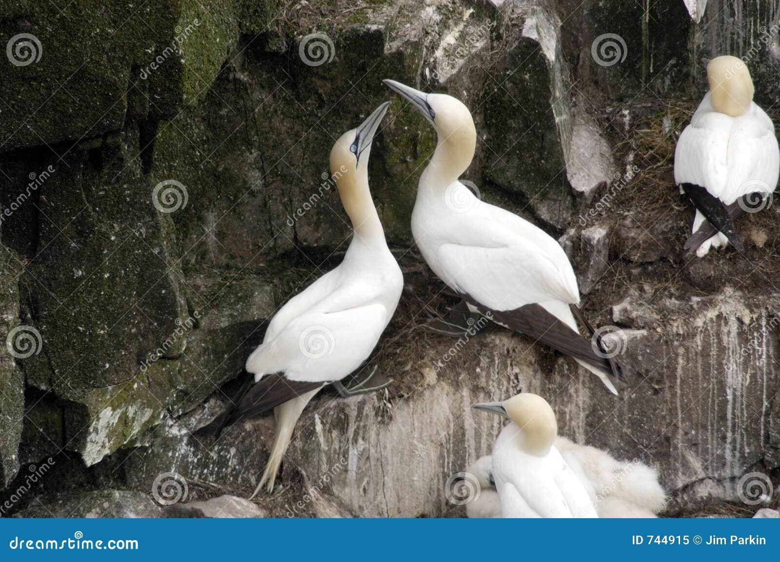 Gannets nordique, s emboîtant