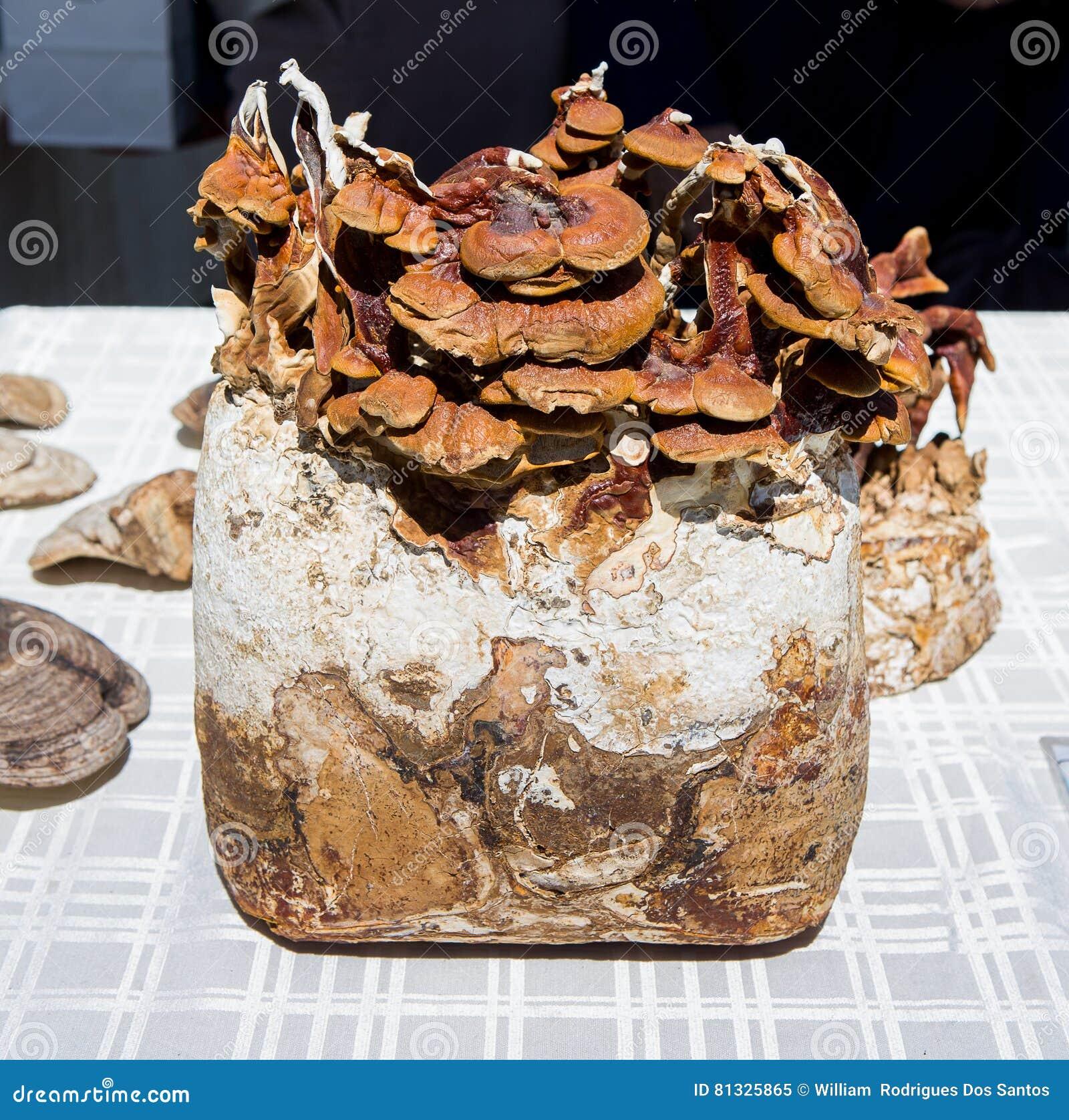 Ganoderma Reishi stock image  Image of cancer, anti, nature
