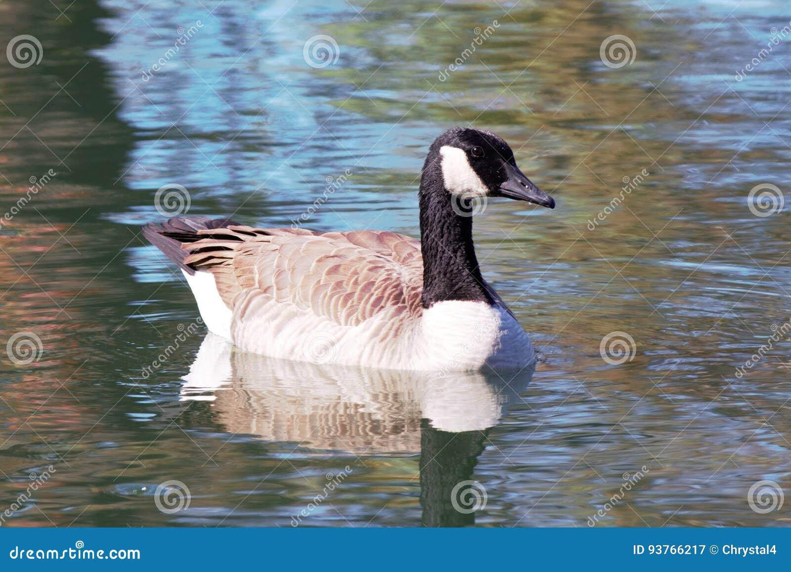 Gans, die auf einen ruhigen Teich schwimmt