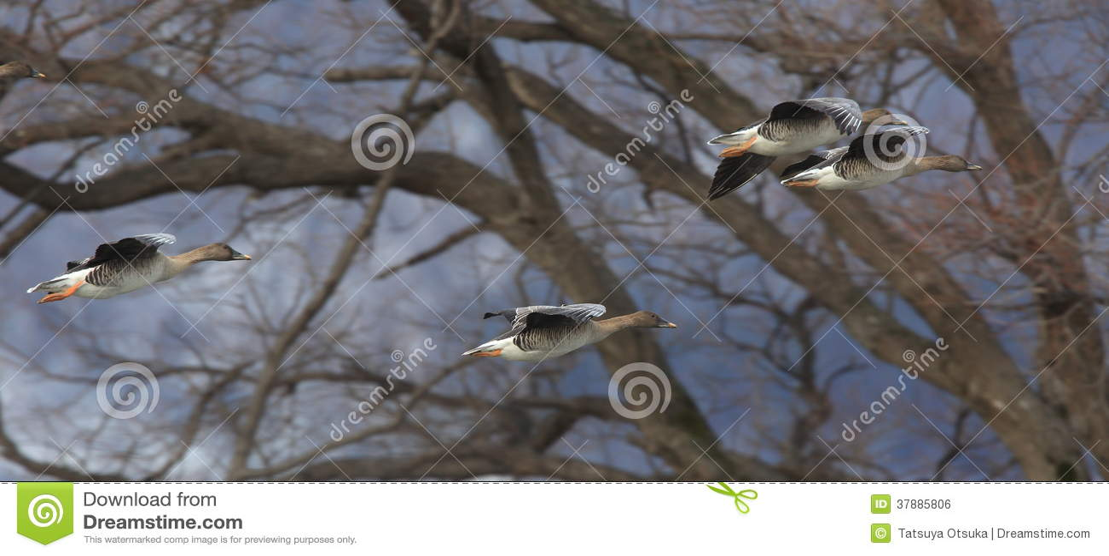 Gans in het vliegen
