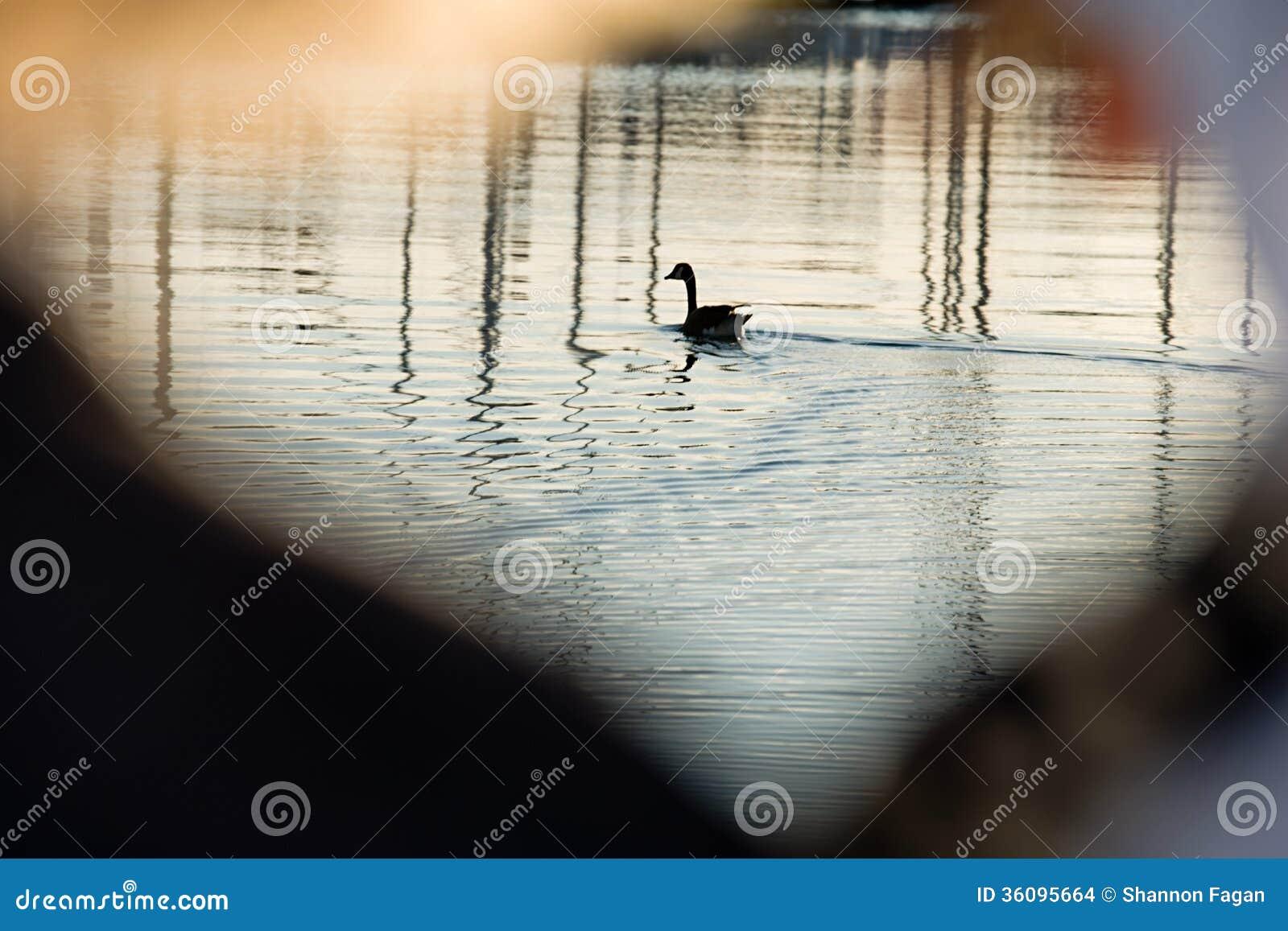 Gans op water