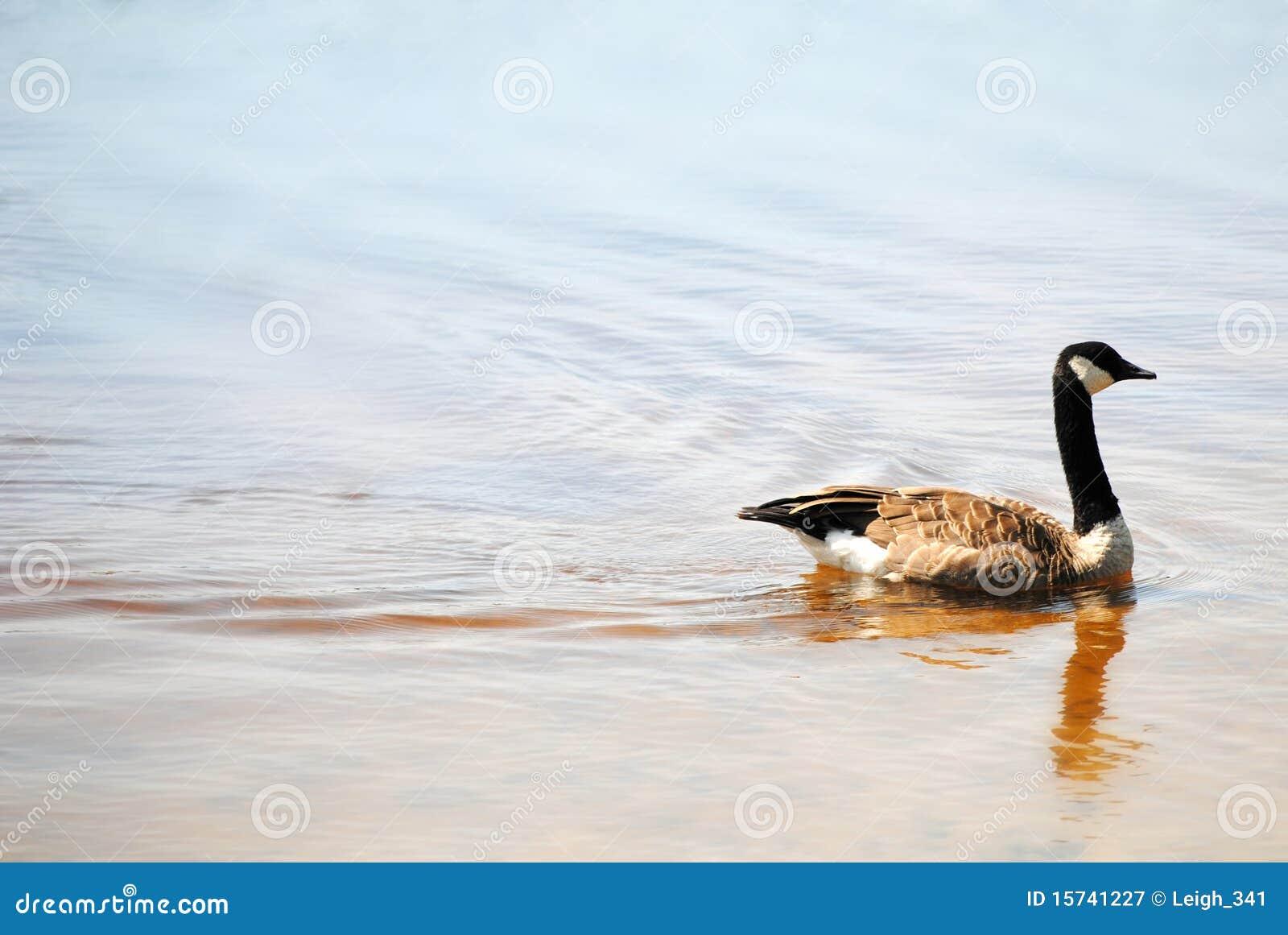 Ganso canadense no lago Malaga, New-jersey