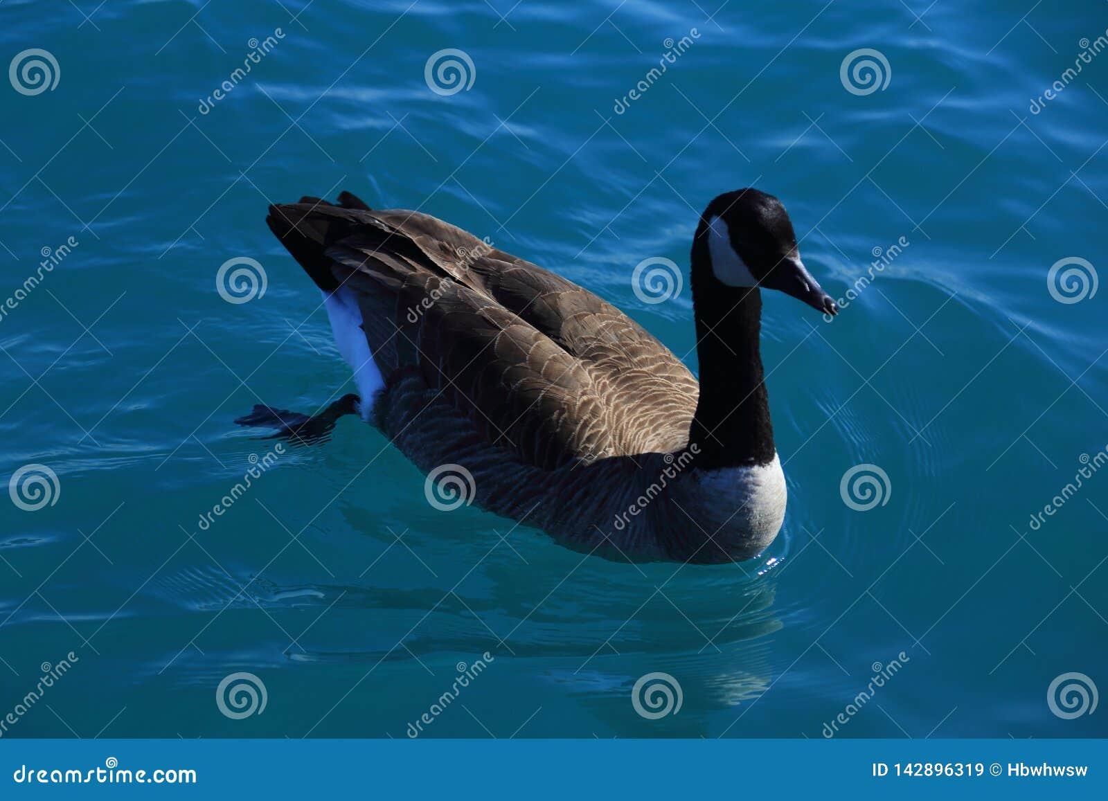 Ganso canadense que nada livremente na claro a água do lago