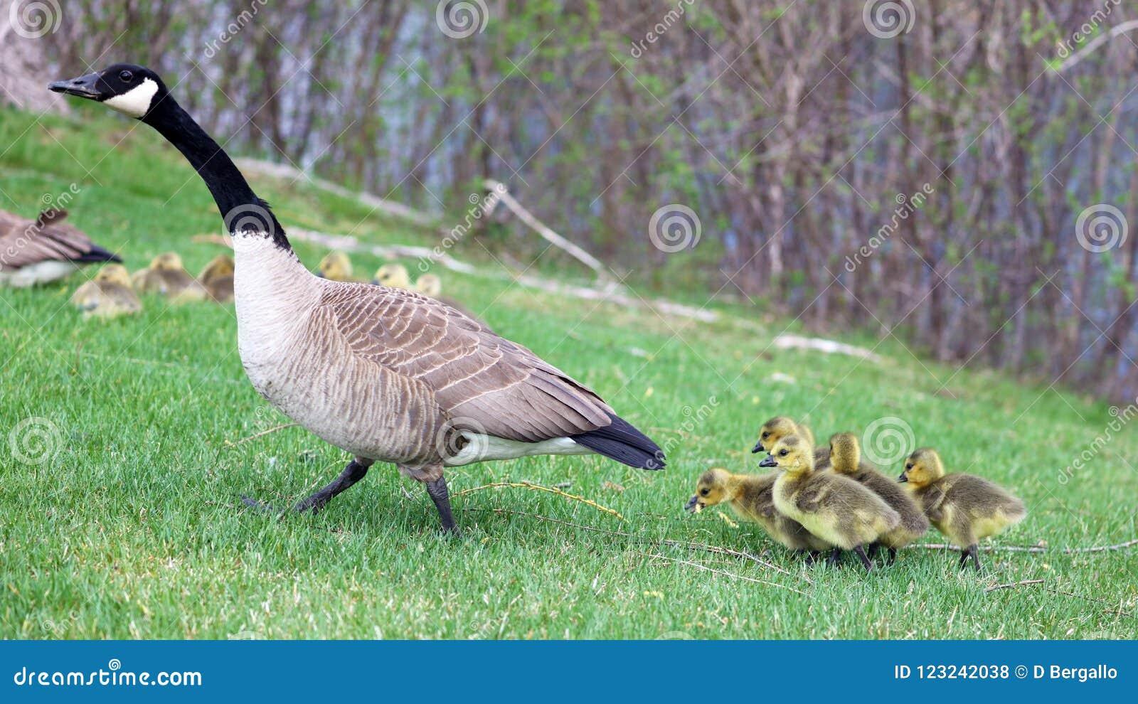 Ganso canadiense con los polluelos, gansos con los ansarones que caminan en hierba verde en Michigan durante la primavera