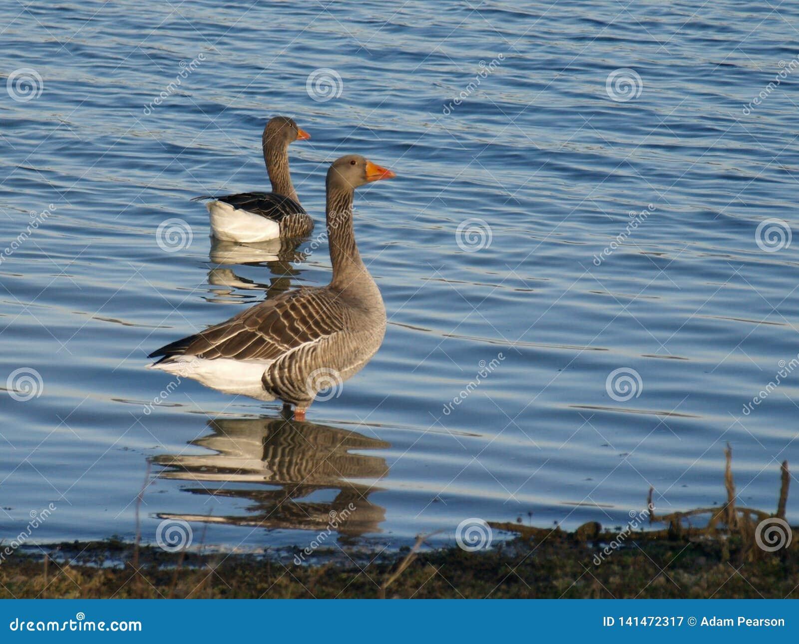 Ganso de pato bravo europeu, Anser do Anser, estando pela linha costeira de lago