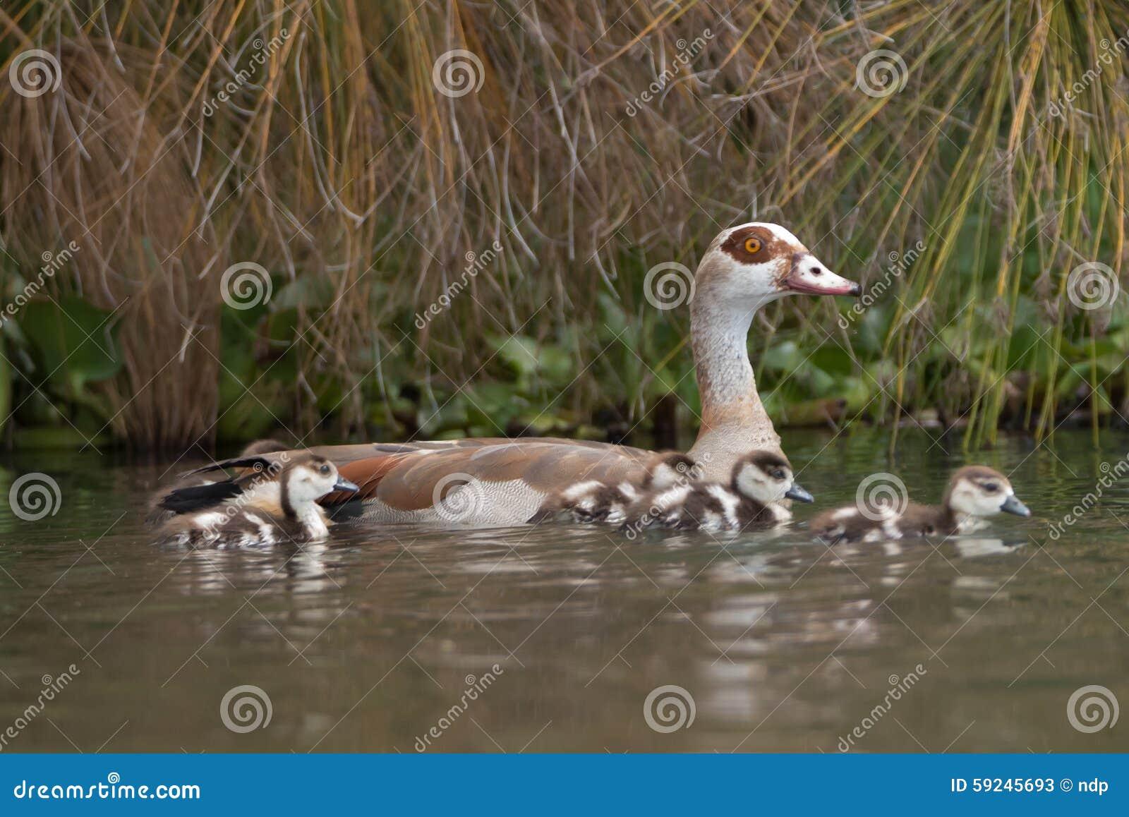Download Ganso Egipcio Con Cuatro Ansarones En El Lago Imagen de archivo - Imagen de áfrica, egipcio: 59245693