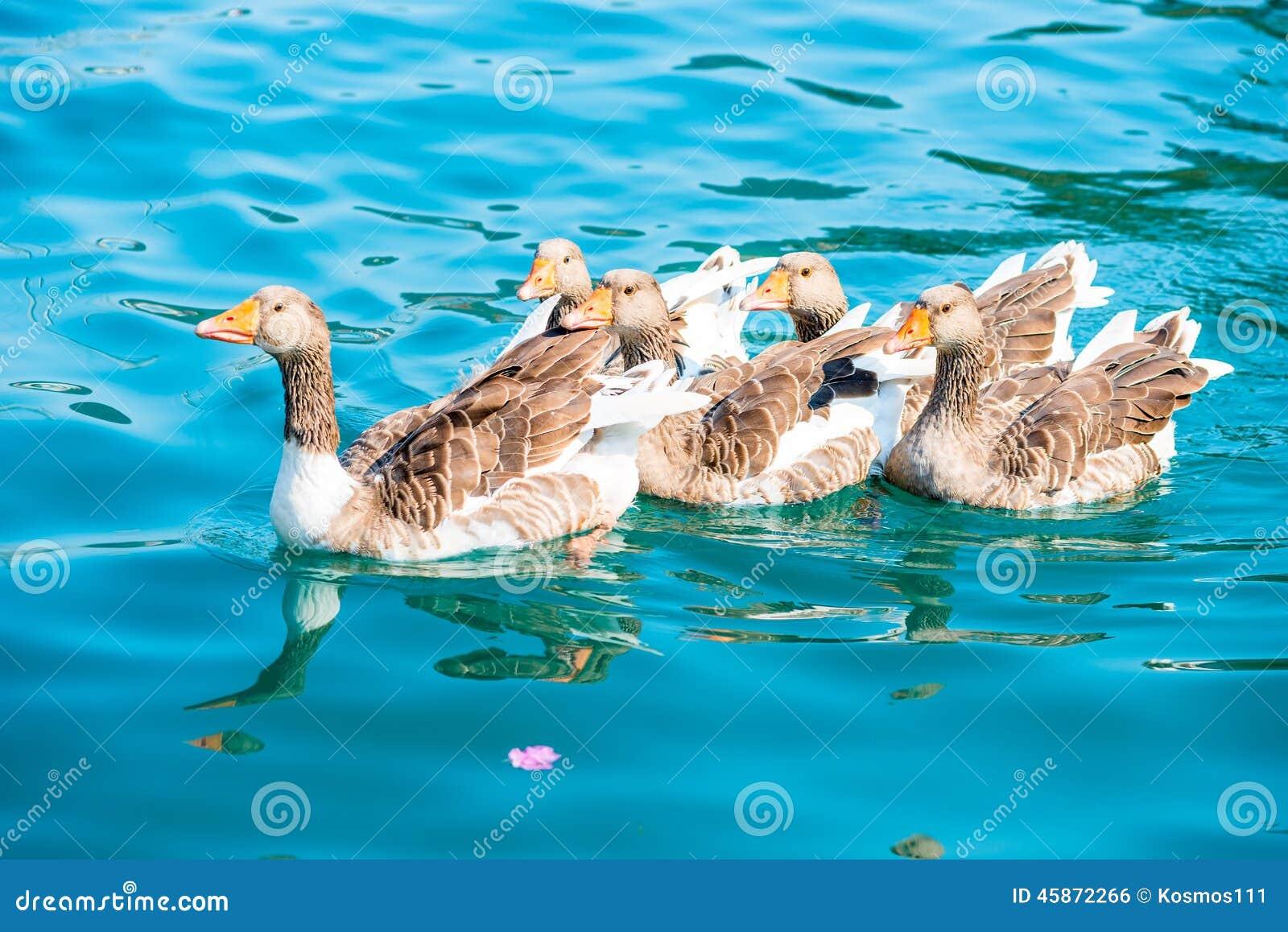 Gansos bonitos das aves aquáticas
