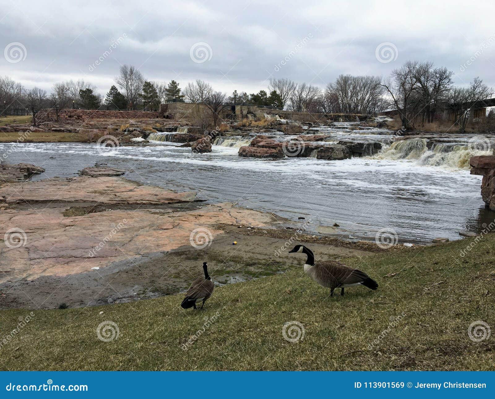 Gansos canadienses delante de Sioux River grande en Sioux Falls, Dakota del Sur con las opiniones la fauna, ruinas, trayectorias