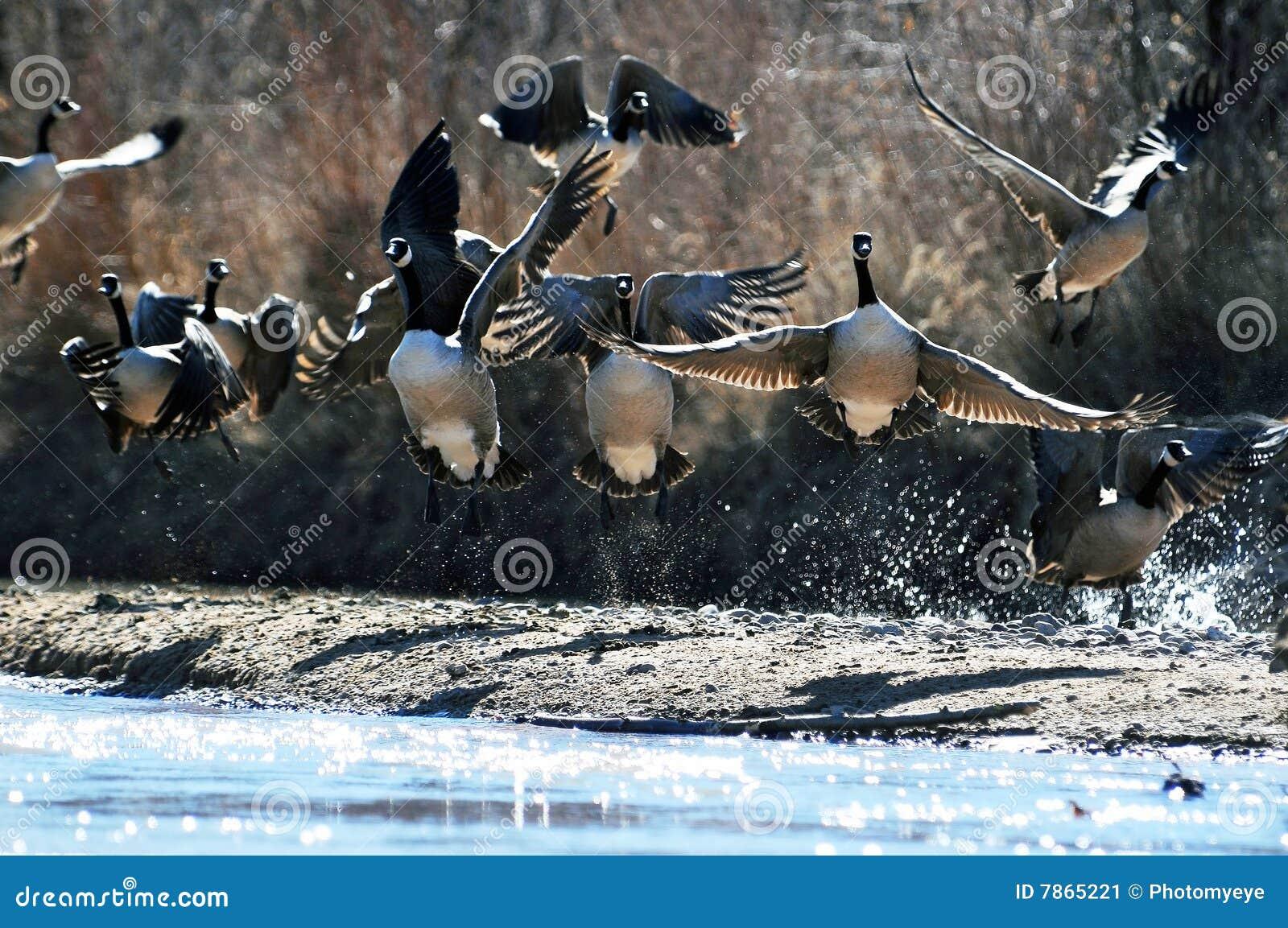Gansos canadienses salvajes