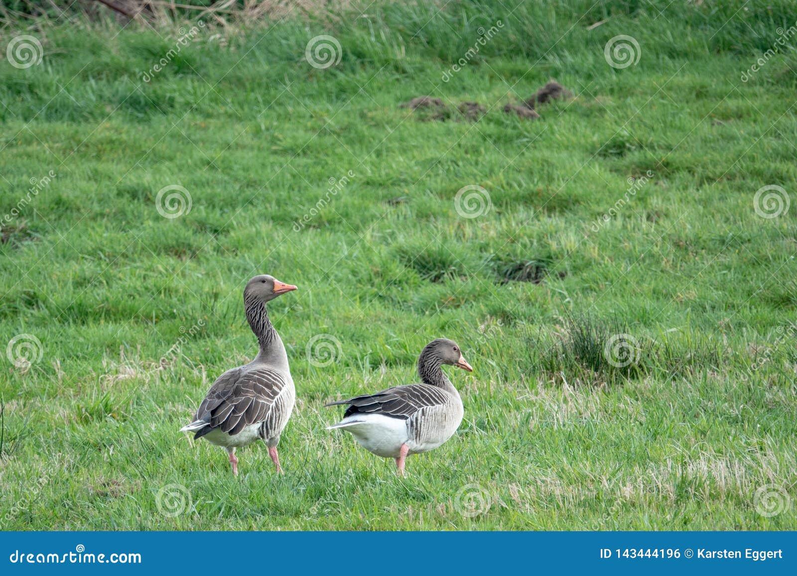 2 gansos cinzentos estão em um prado e cacarejam e comem