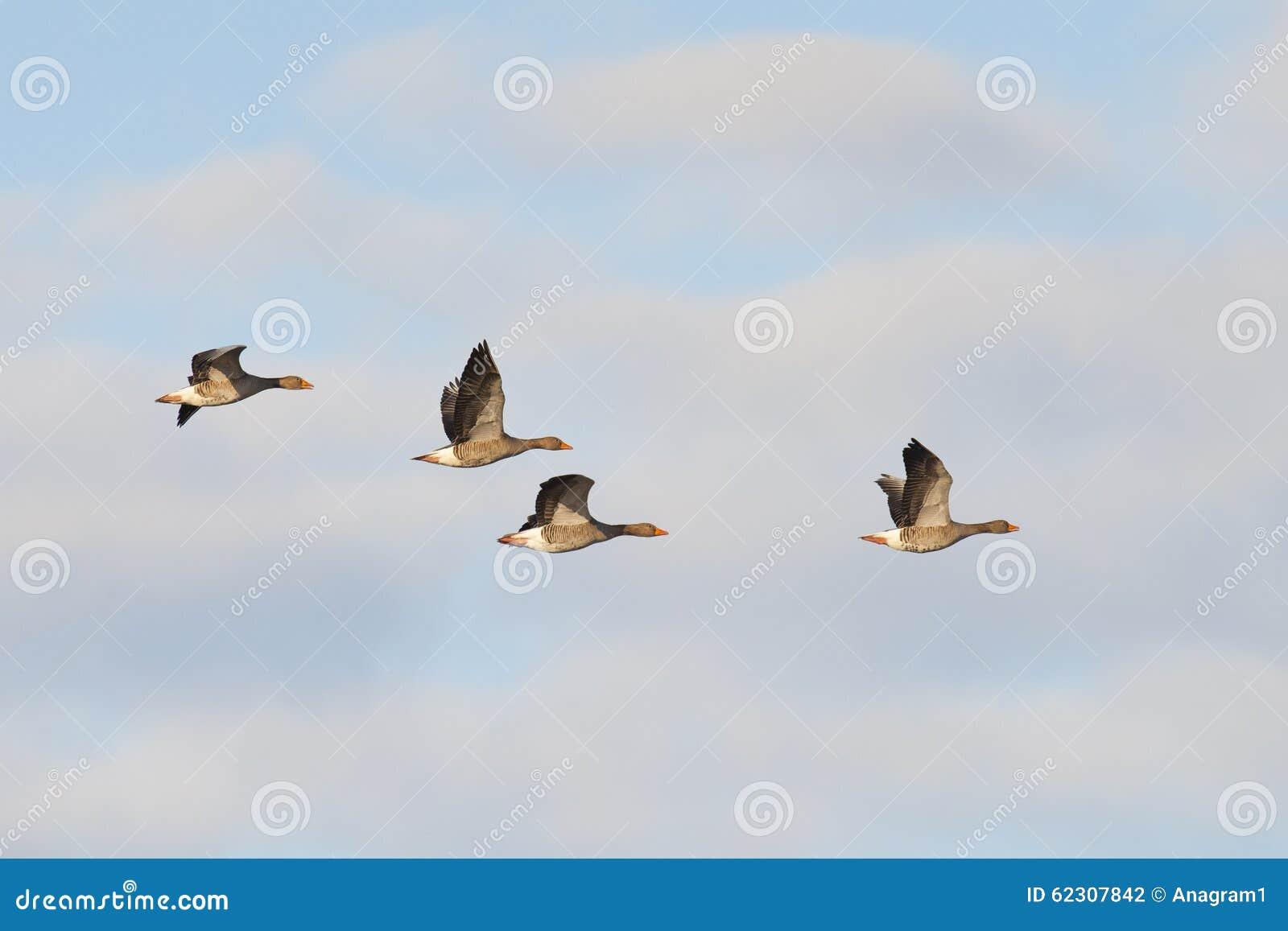 Gansos de ganso silvestre en vuelo