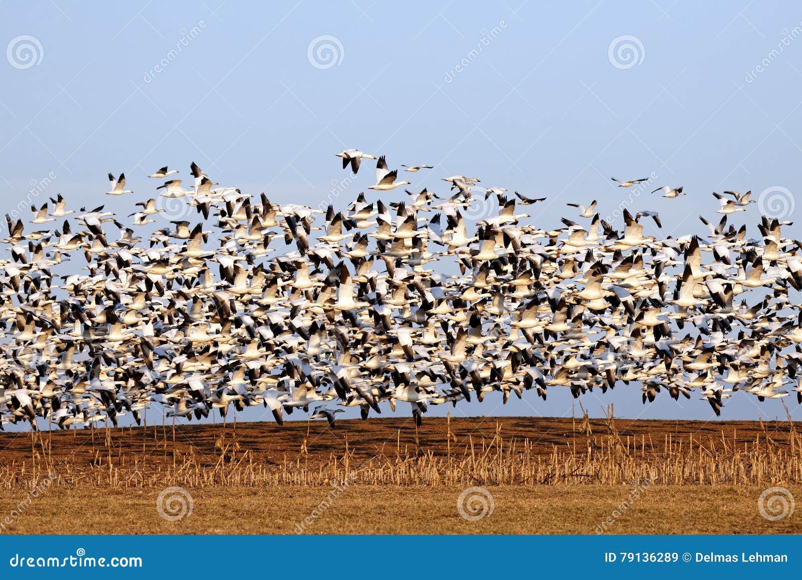 Gansos de neve da migração no vôo